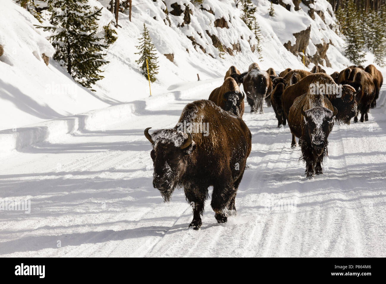 Roadblock bison Yellowstone - Stock Image