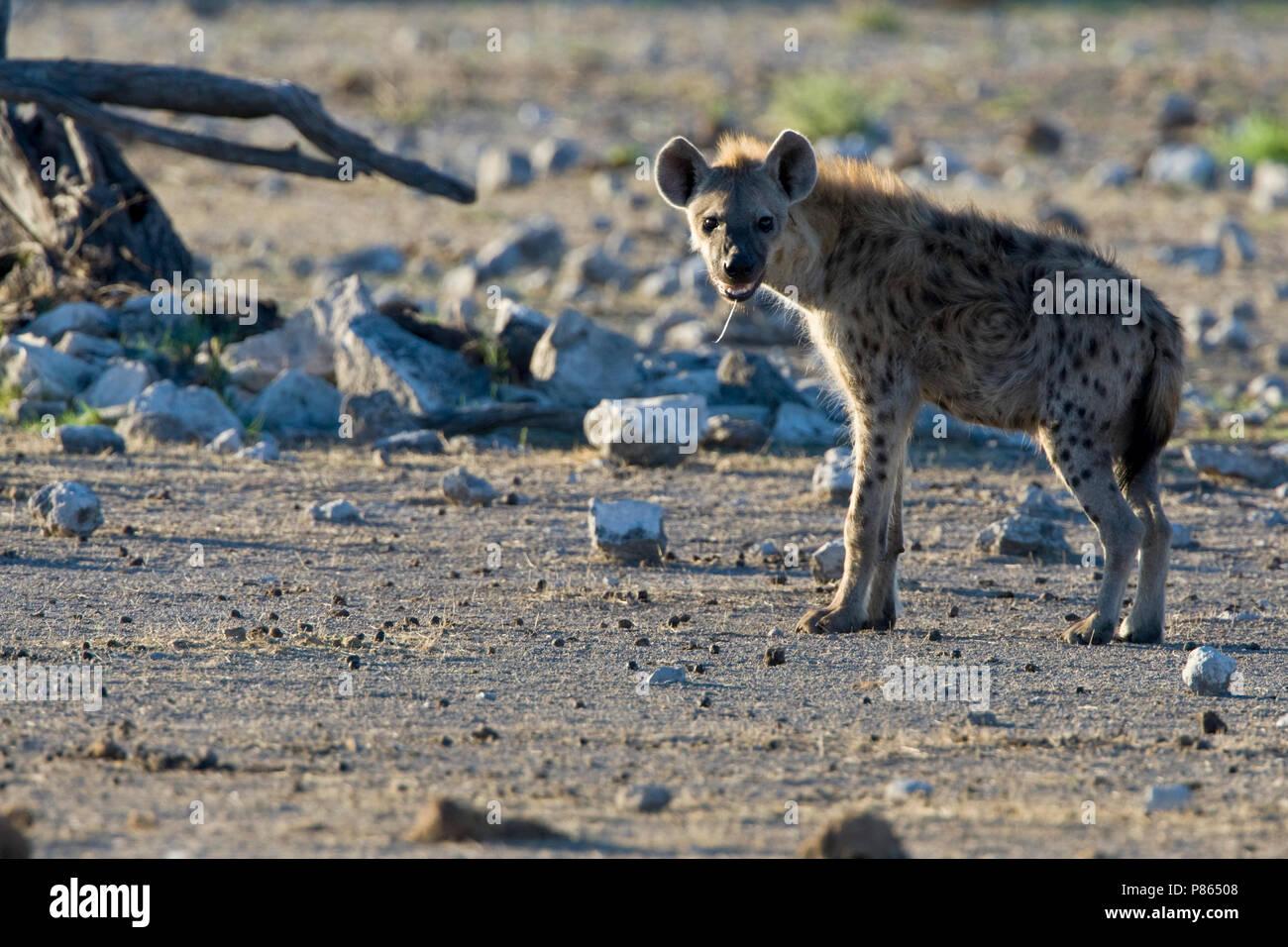 Gevlekte hyena Etosha NP Namibie, Spotted Hyena Etosha NP Namibia - Stock Image