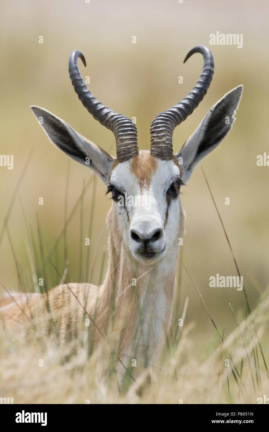 Springbok closeup van kop Namibie, Springbok close up of head - Stock Image