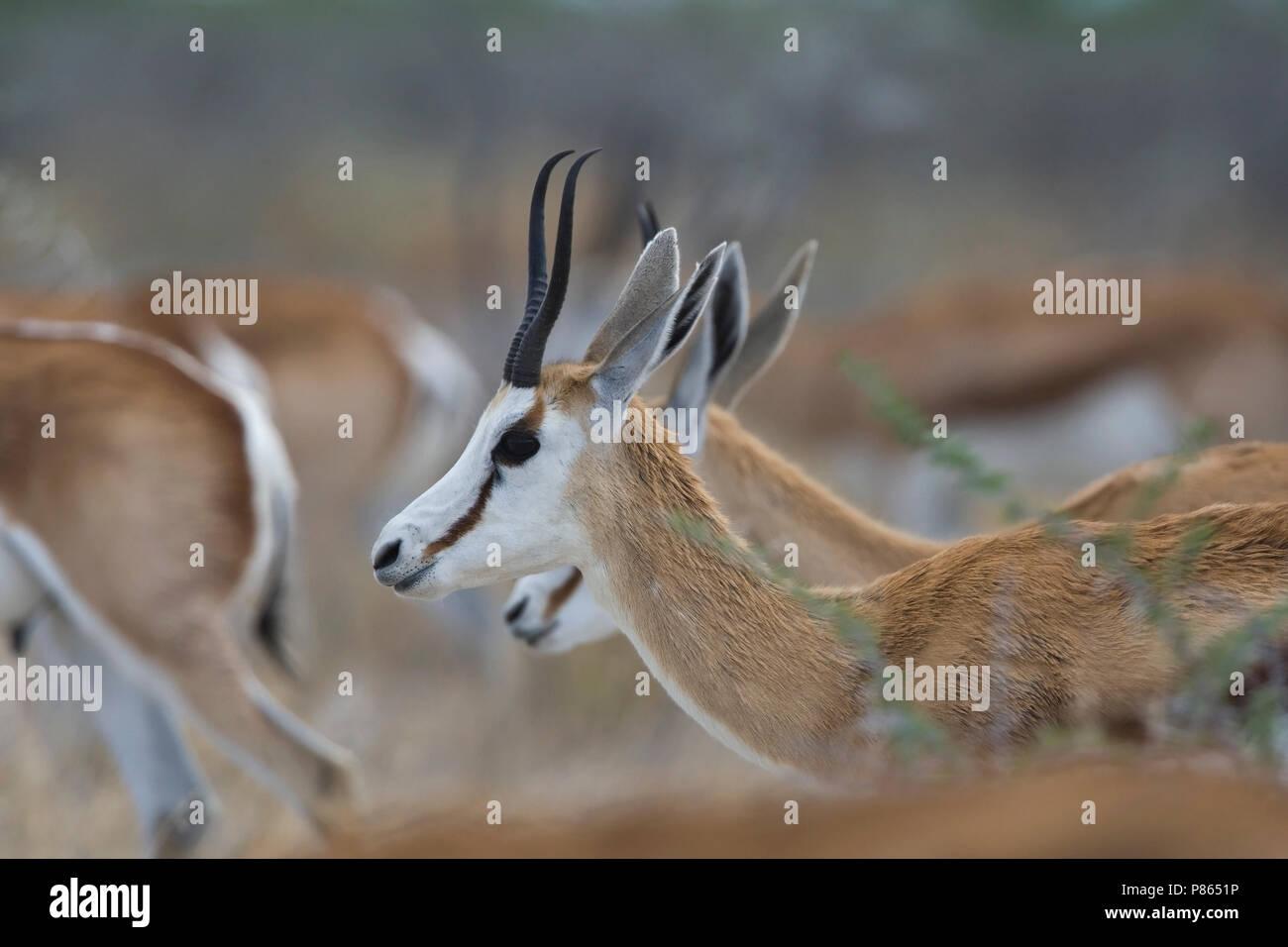 Springbok een groep in Etosha Namibie, Springbok a group at Etosha Namibia Stock Photo