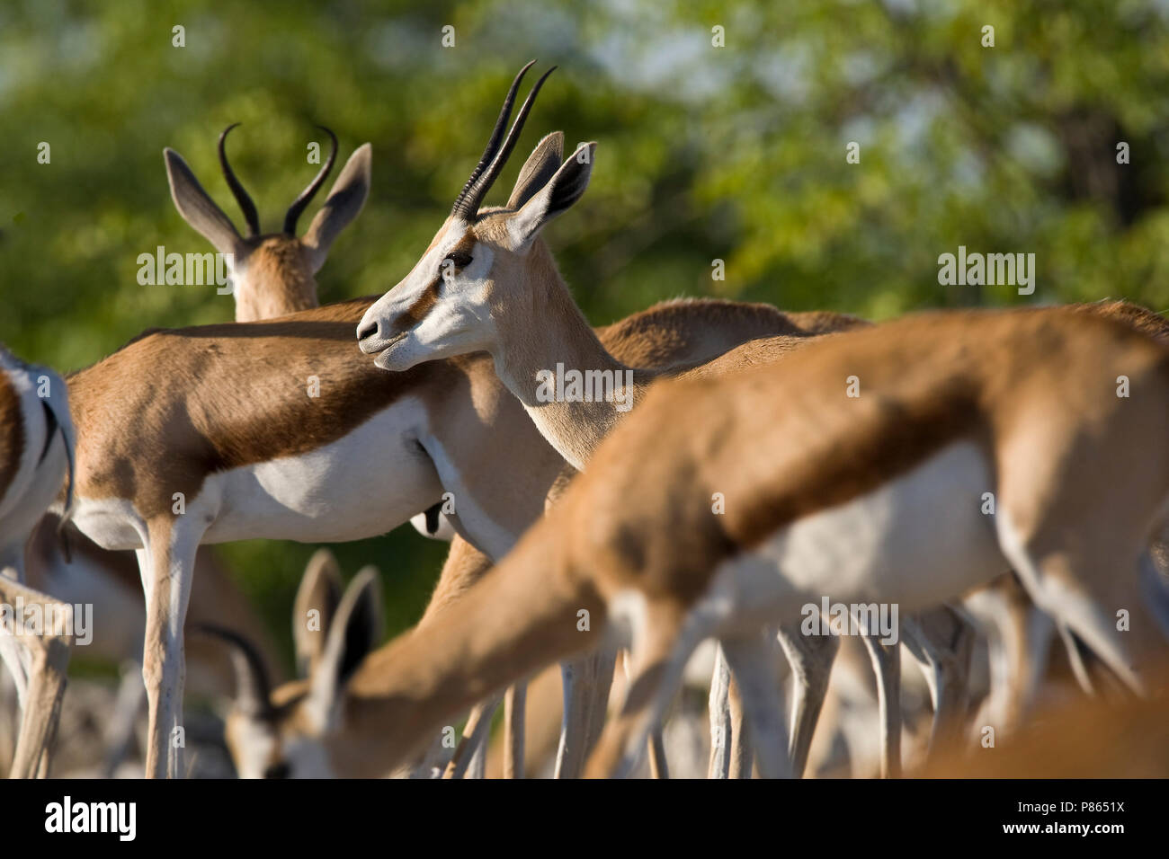 Closeup van kudde Springbokken, Close-up of herd of Springboks - Stock Image