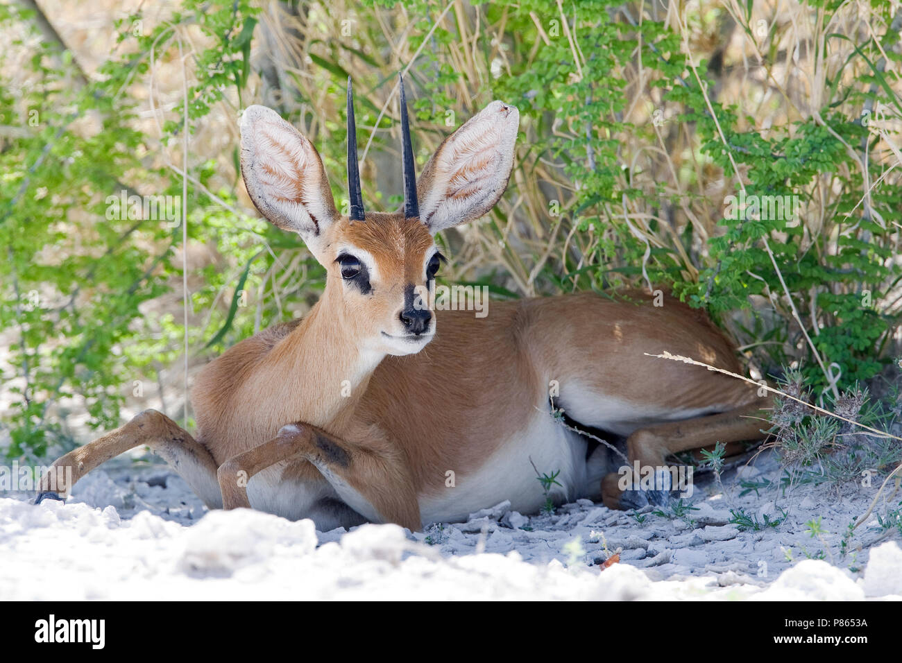 Steenbokantilope liggend in schaduw Namibie, Steenbok lying in shadow Namibia - Stock Image
