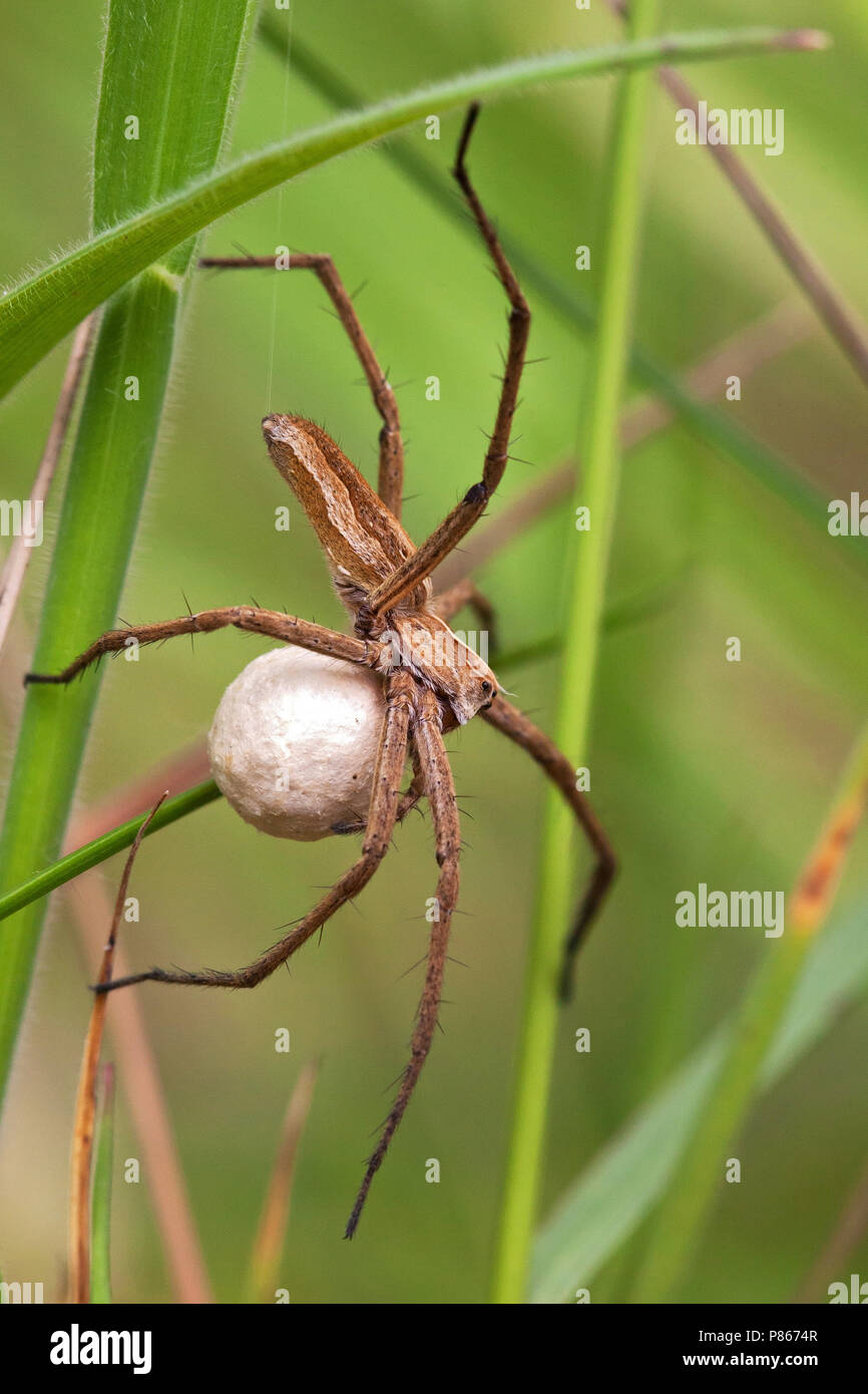 wofspin met eicocon; wolf spider with egg sack - Stock Image