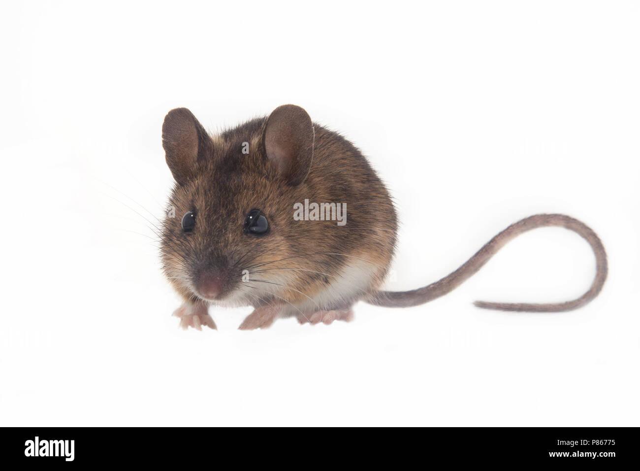 Bosmuis met witte achtergrond - Stock Image
