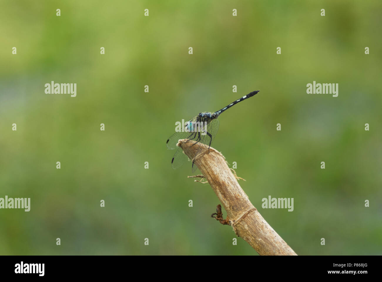 Dragonfly, somewhere in Calakmul Biosphere Reserve, Yucatan peninsula, Campeche, Mexico. Stock Photo