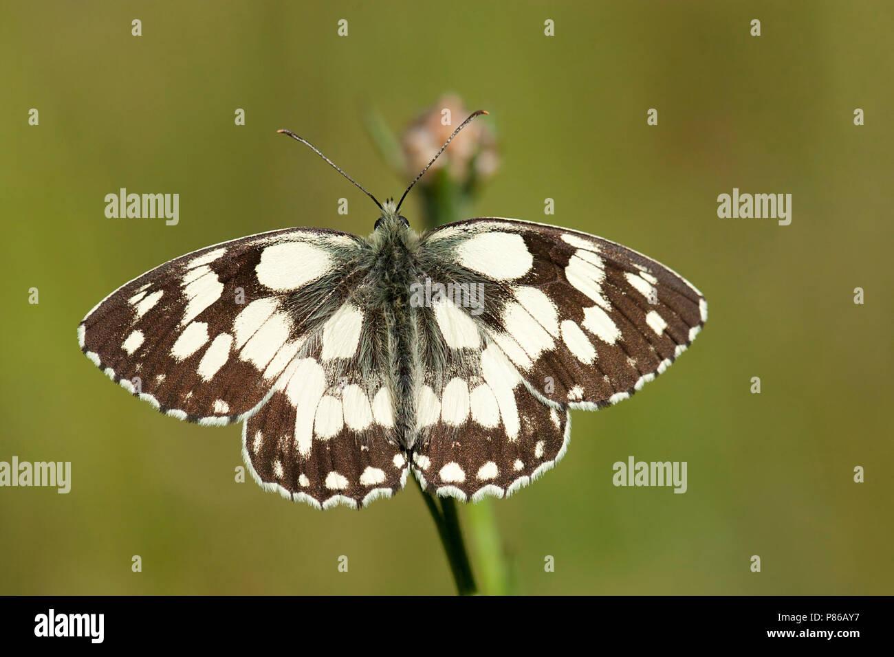 Dambordje / Marbled white (Melanargia galathea) - Stock Image