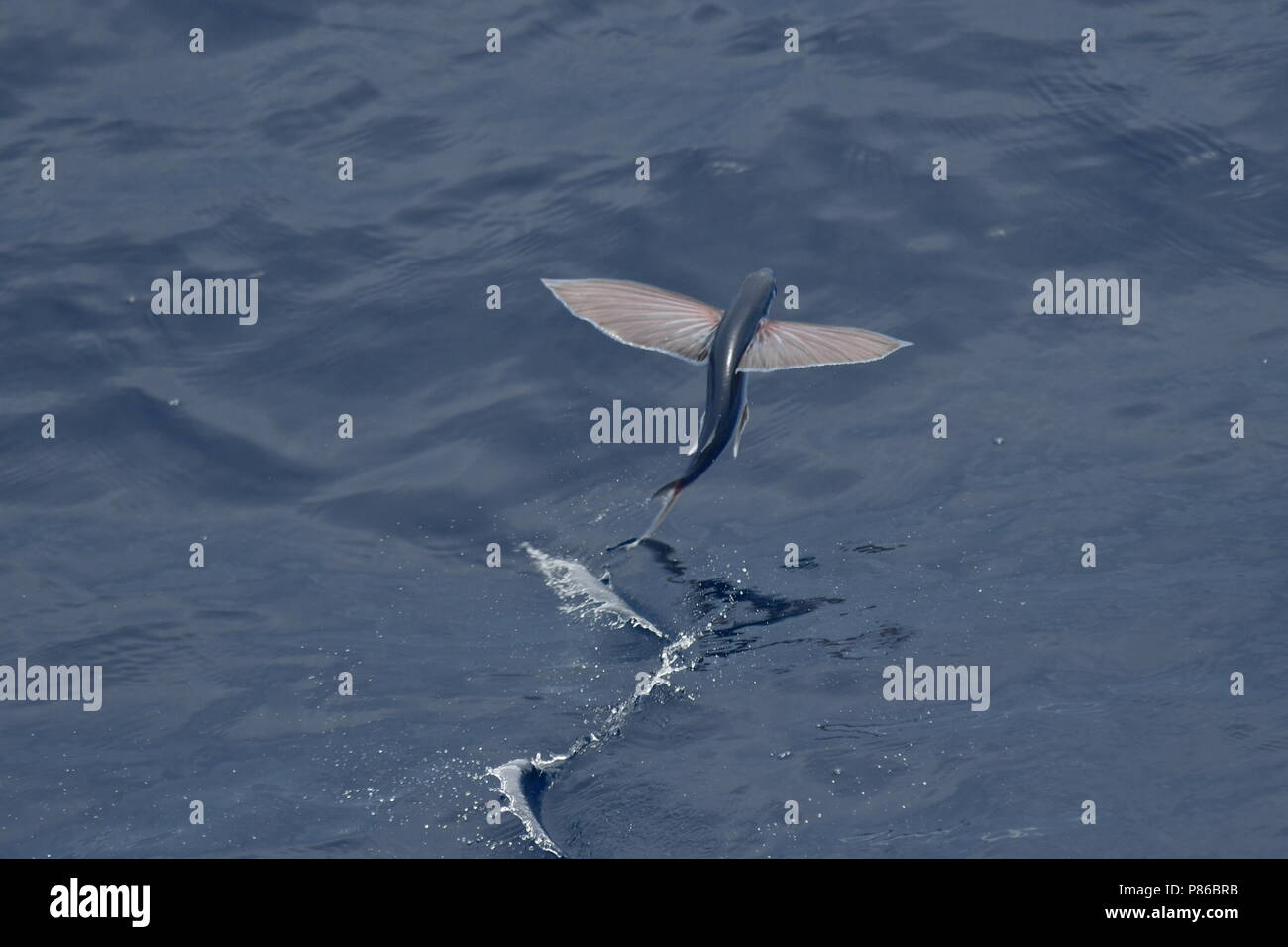 Flying fish species taking off from the ocean surface. Stock Photo
