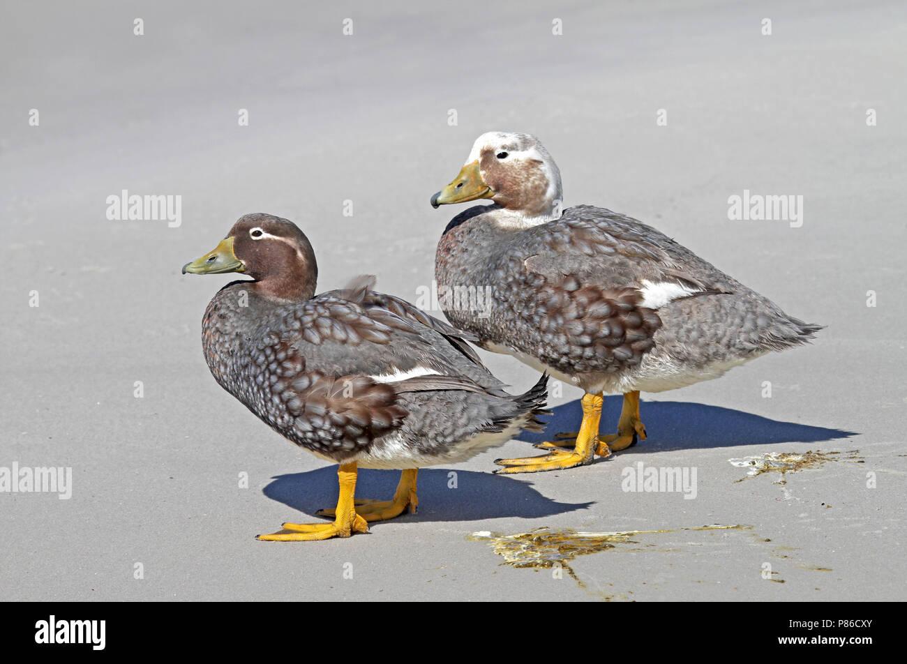 Falkland Steamer Duck (Tachyeres brachypterus) a flightless endemic of the Falkland Islands. - Stock Image