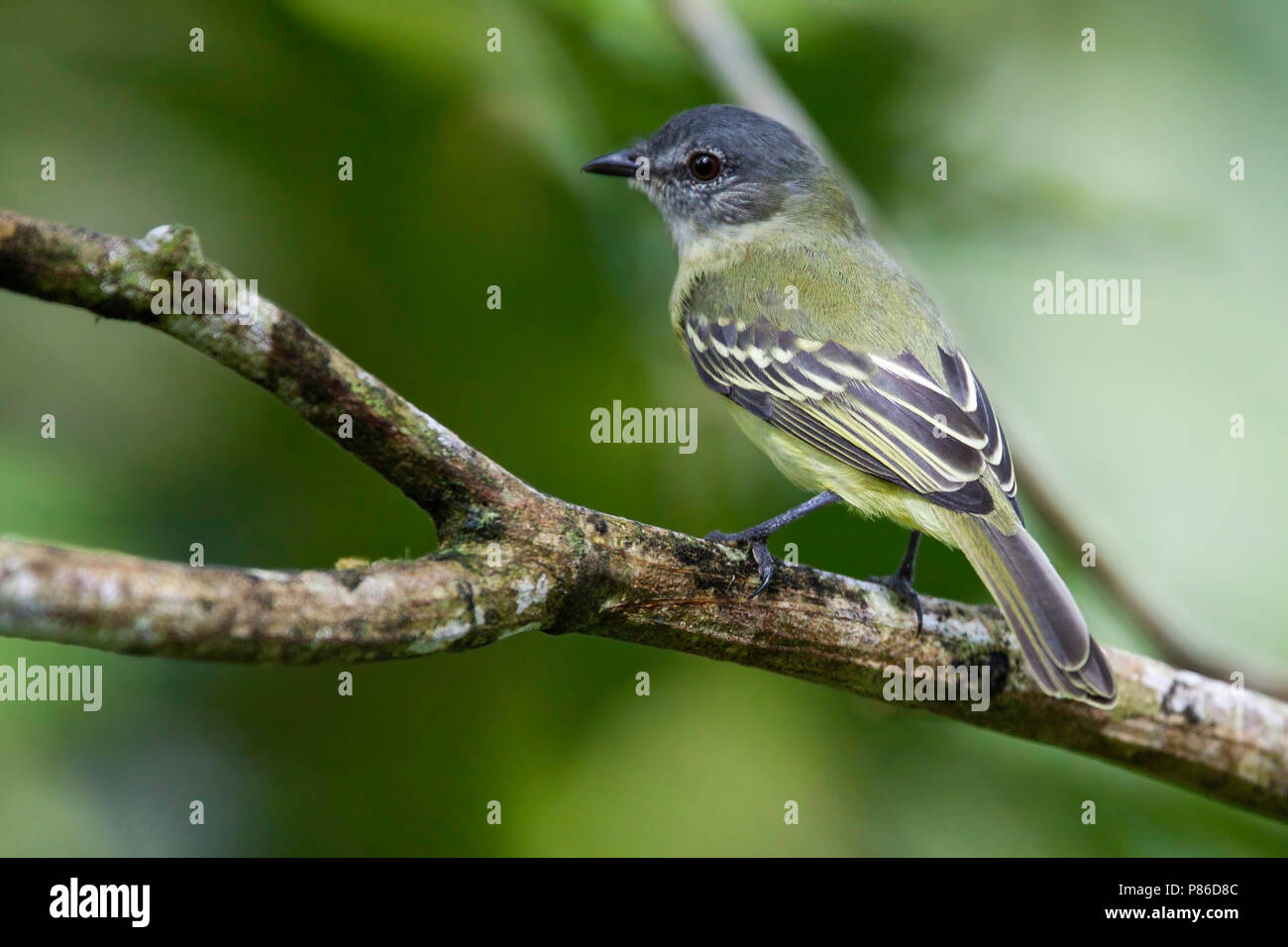 Foothill Elaenia (Myiopagis olallai) - Stock Image