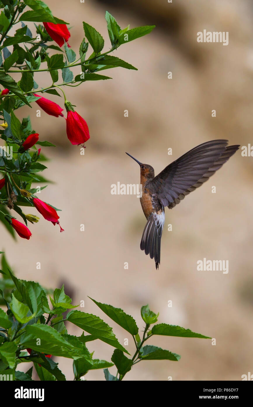 giant hummingbird patagona gigas hovering in front of a flower