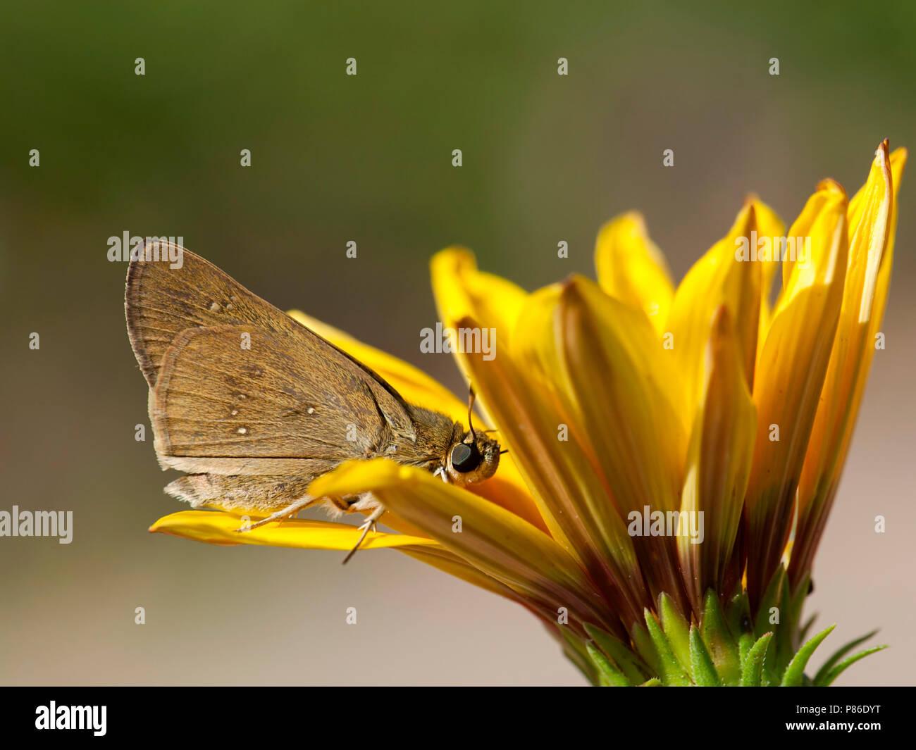 Gierstdikkopje / Millet Skipper (Pelopidas thrax) - Stock Image