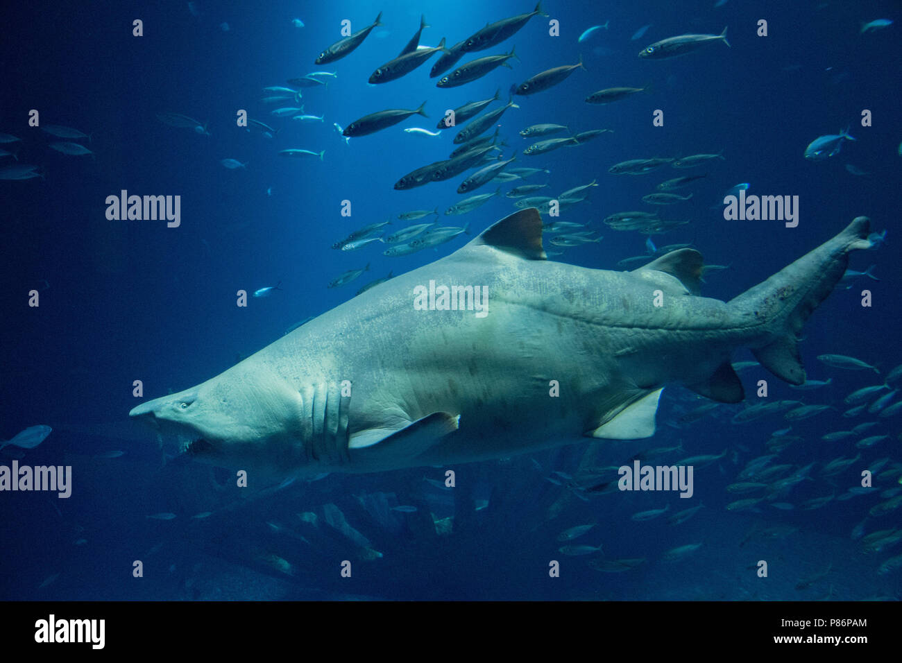 09 July 2018 Germany Stralsund A Sand Tiger Shark Swims In The