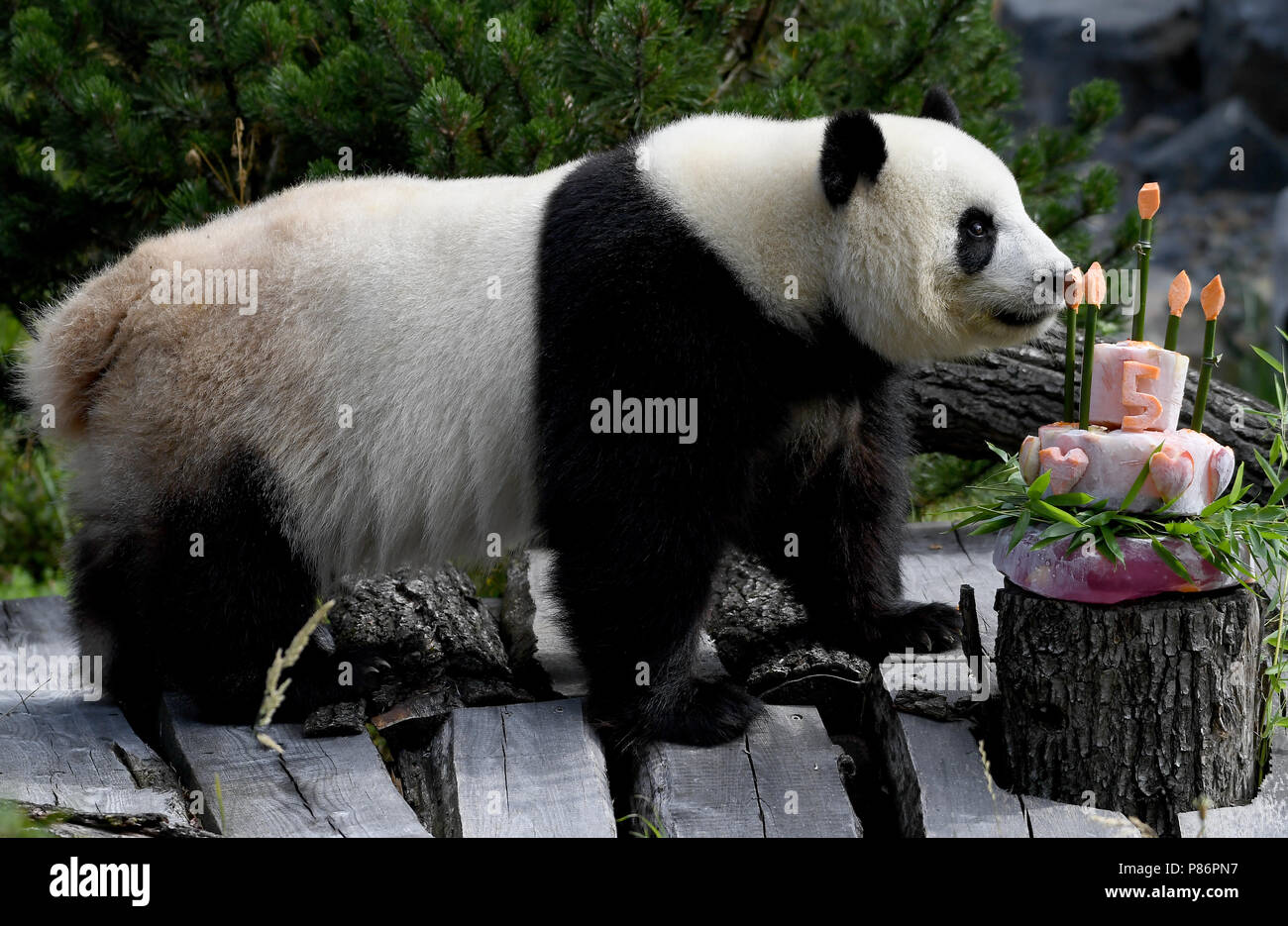 Berlin, Germany. 10th July, 2018. Panda female Meng Meng takes a look at her birthday cake at her enclosure at the Berlin Zoological Garden. The animal keepers served a sugar-free birthday cake with delicacies like bamboo, apples, carrots and ice. Together with the male panda Jiao Qing the panda female Meng Meng from a reserve in Chengdu lives at the Berlin zoo as a Chinese 'loan'. Credit: Britta Pedersen/dpa-Zentralbild/dpa/Alamy Live News - Stock Image