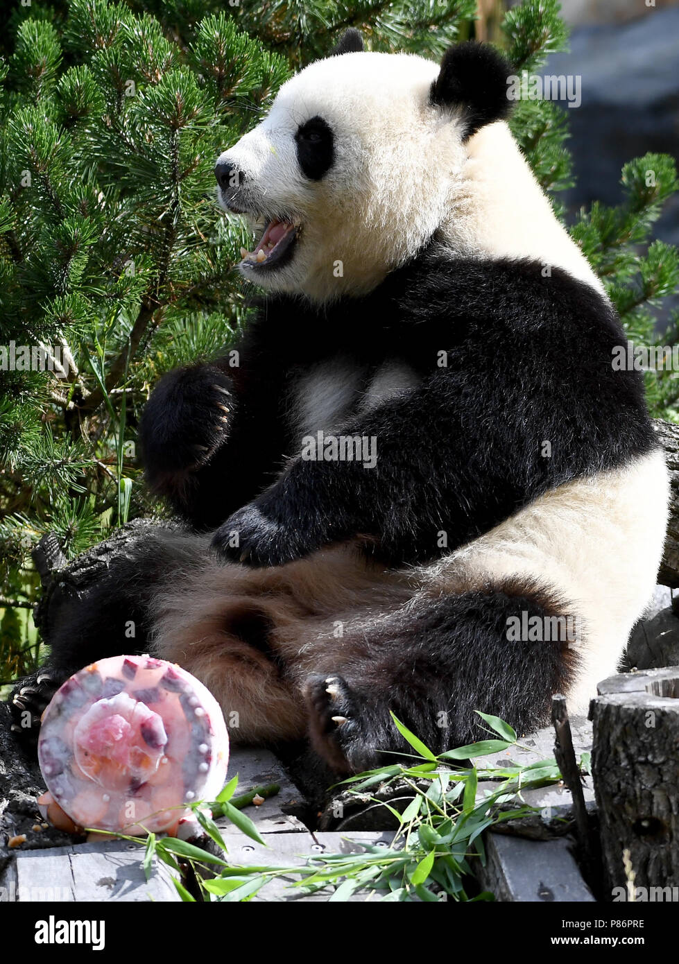 Berlin, Germany. 10th July, 2018. Panda female Meng Meng eats her birthday cake at her enclosure at the Berlin Zoological Garden. The animal keepers served a sugar-free birthday cake with delicacies like bamboo, apples, carrots and ice on the occasion of her fifth birthday. Together with the male panda Jiao Qing the panda female Meng Meng from a reserve in Chengdu lives at the Berlin zoo as a Chinese 'loan'. Credit: Britta Pedersen/dpa-Zentralbild/dpa/Alamy Live News - Stock Image