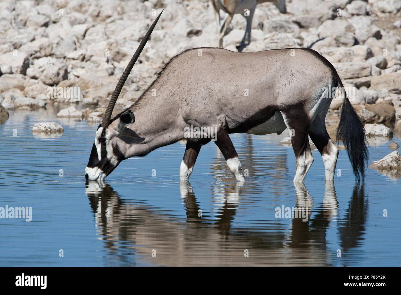 Oryx drinkend Etosha NP Namibie, Gemsbok drinking Etosha NP Namibia - Stock Image