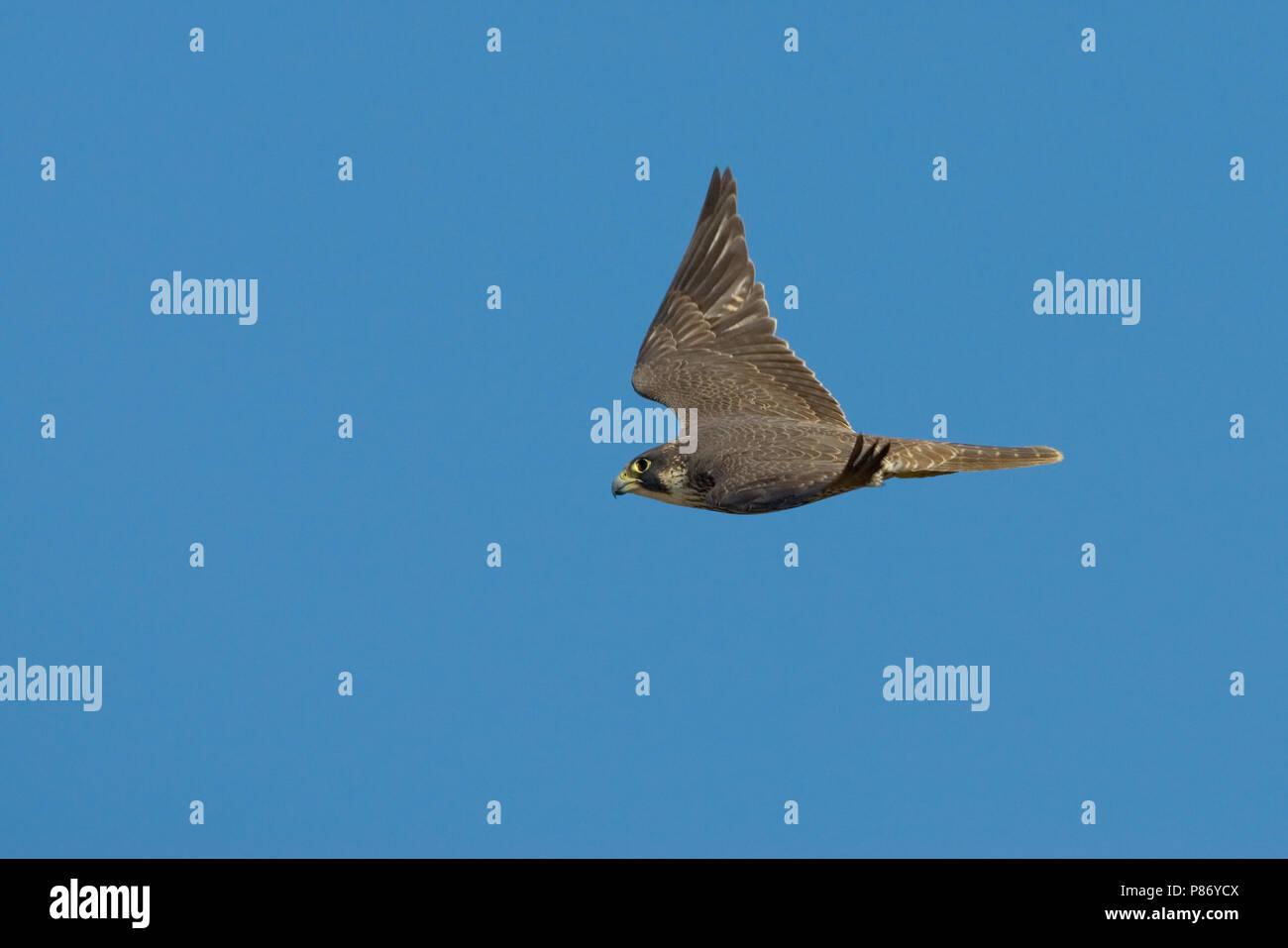 Pellegrino; Peregrin; Falco peregrinus - Stock Image