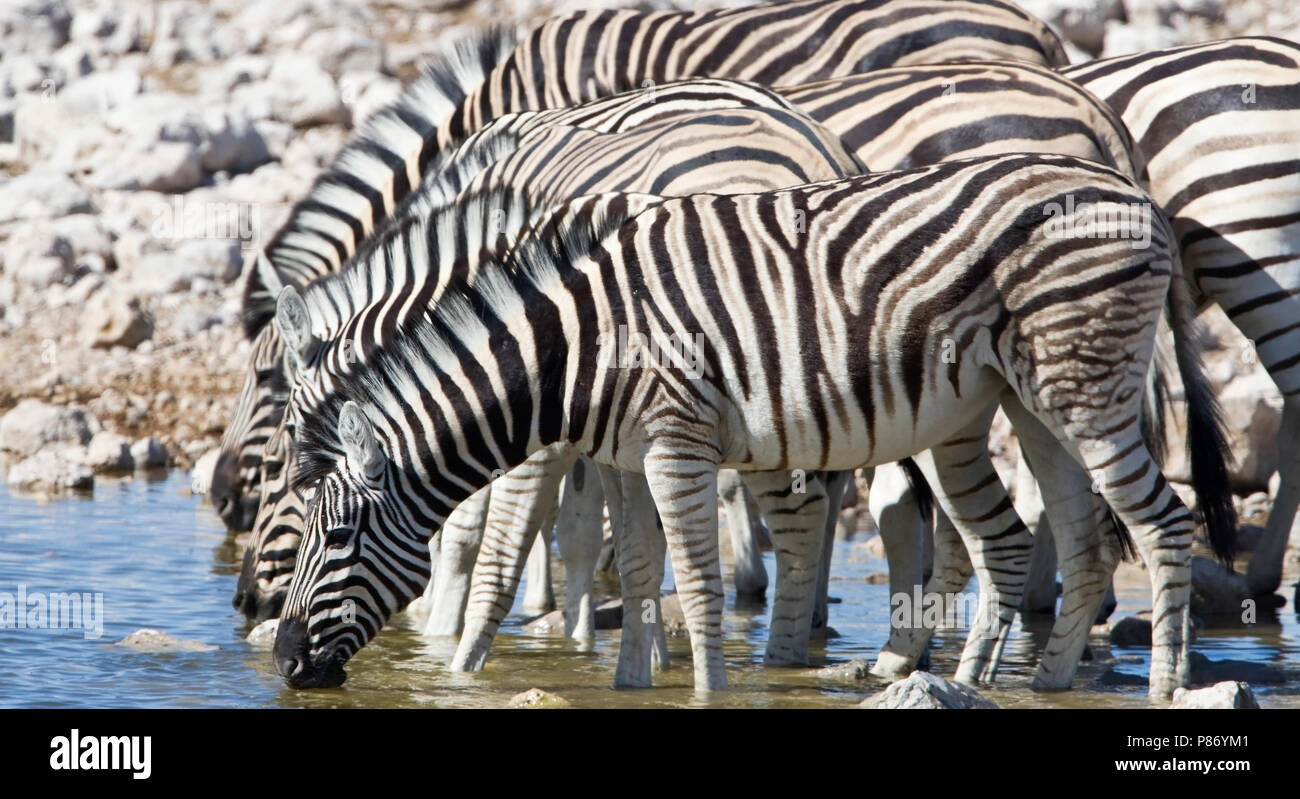 Kudde Steppezebra's bij een waterplaats Etosha NP Namibia, Herd of Plains zebras at waterhole Etosha NP Namibia - Stock Image