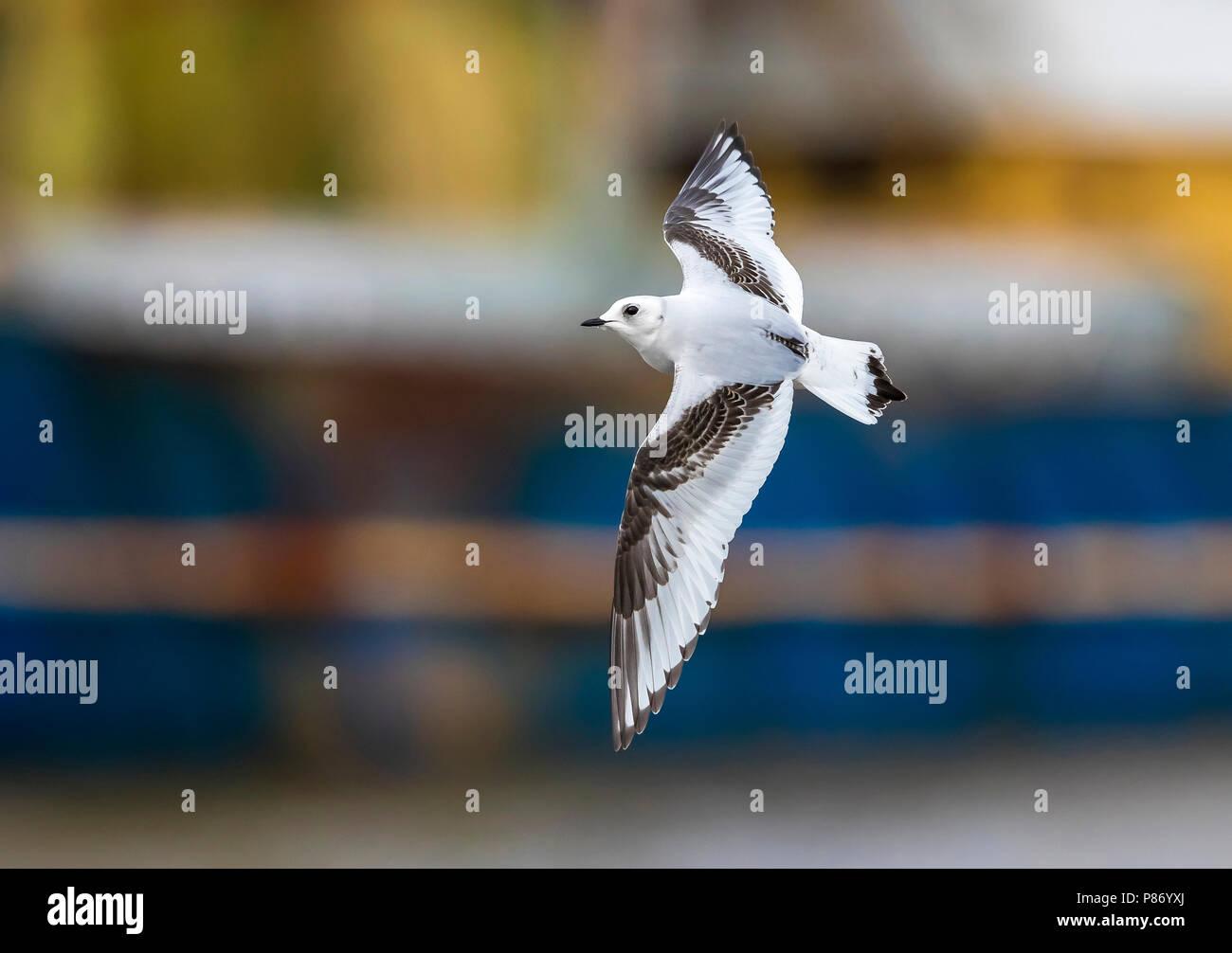 1st winter Ross's Gull flying over Vlissingen, Zeeland, The Netherlands. January 28, 2018. - Stock Image