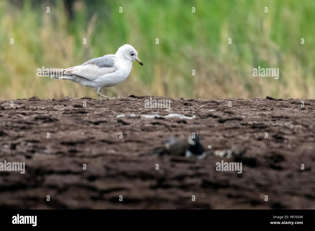 First summer Russian Common Gull walking around a dump in Etkaterinburg, Russia. June 12, 2016. - Stock Image
