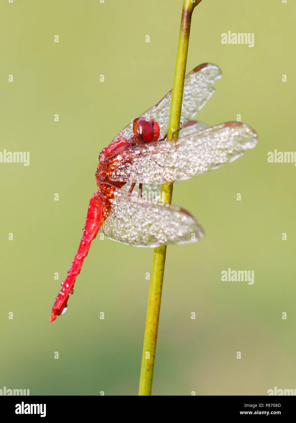 bedauwde man Vuurlibel; Scarlet darter male covered with dew; Stock Photo