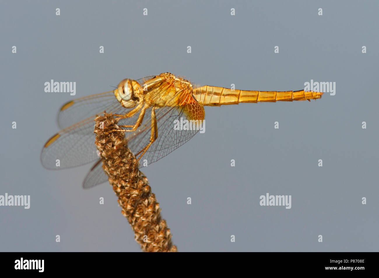 Vrouwtje Vuurlibel; female Scarlet darter; Stock Photo