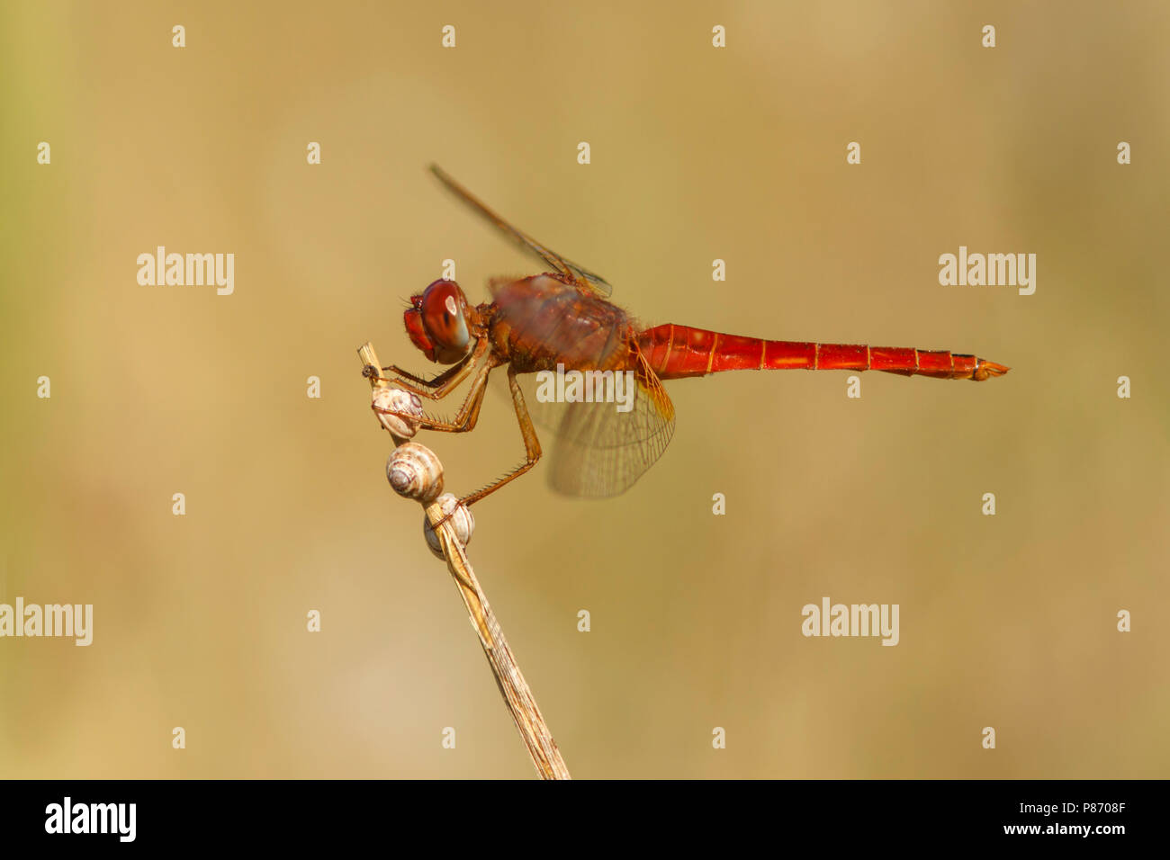 Man Vuurlibel; Male Scarlet darter; Stock Photo