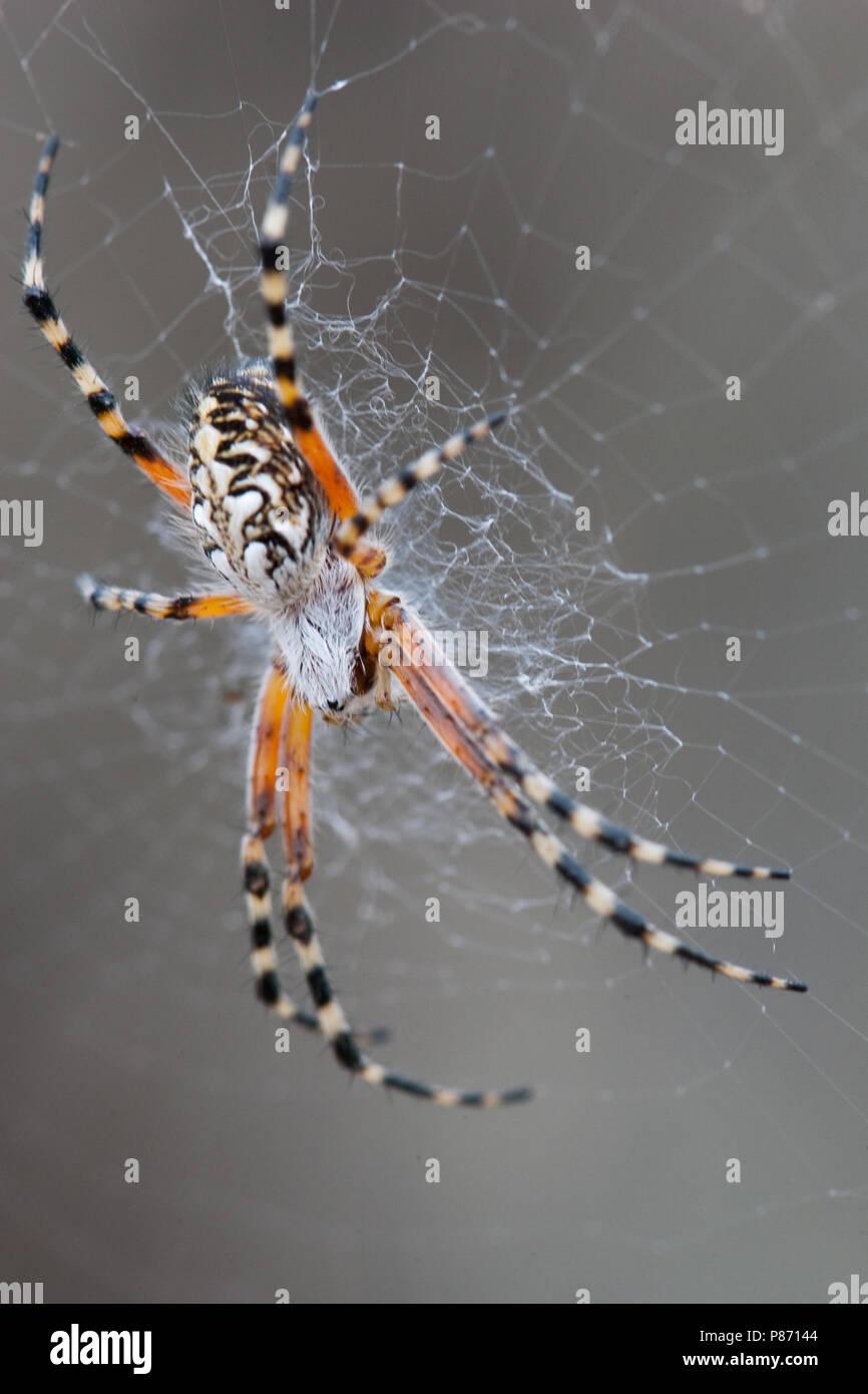 spin ssp, spider ssp - Stock Image