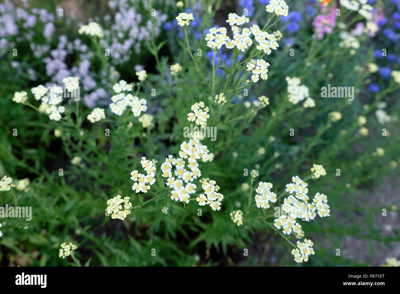 English mace edible herb Achillea ageratum growing with