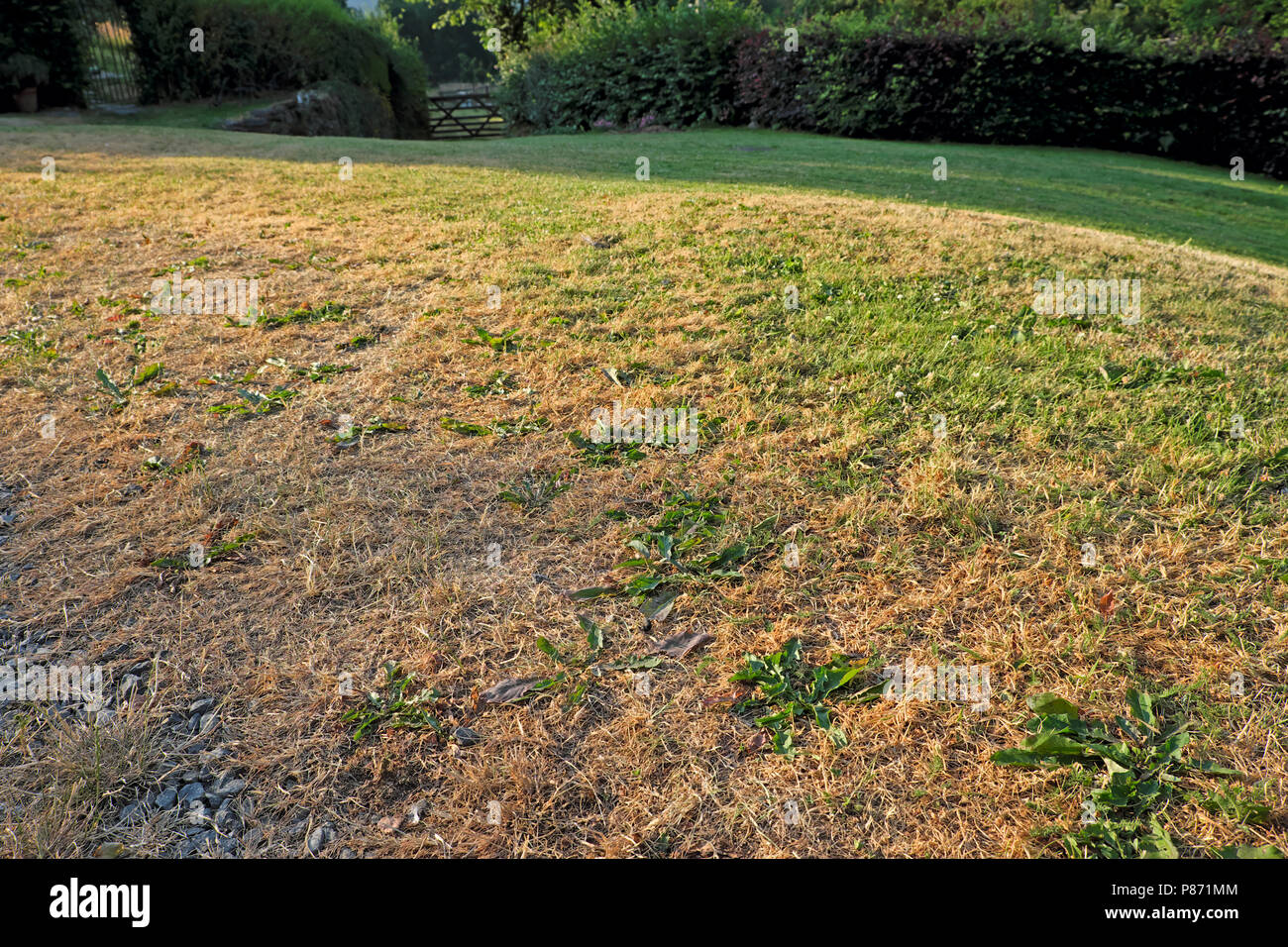 Parched lawn during 2018 summer heatwave in Carmarthenshire Wales UK  KATHY DEWITT - Stock Image