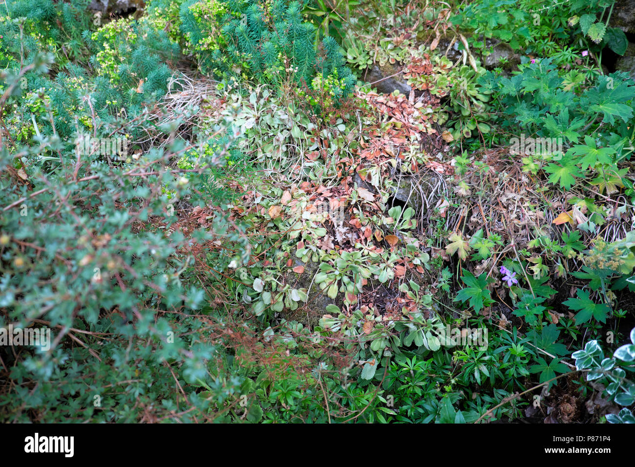 Plants suffering wilting in a rockery garden from lack of rain water in the heatwave of summer 2018 in West Wales UK  KATHY DEWITT - Stock Image
