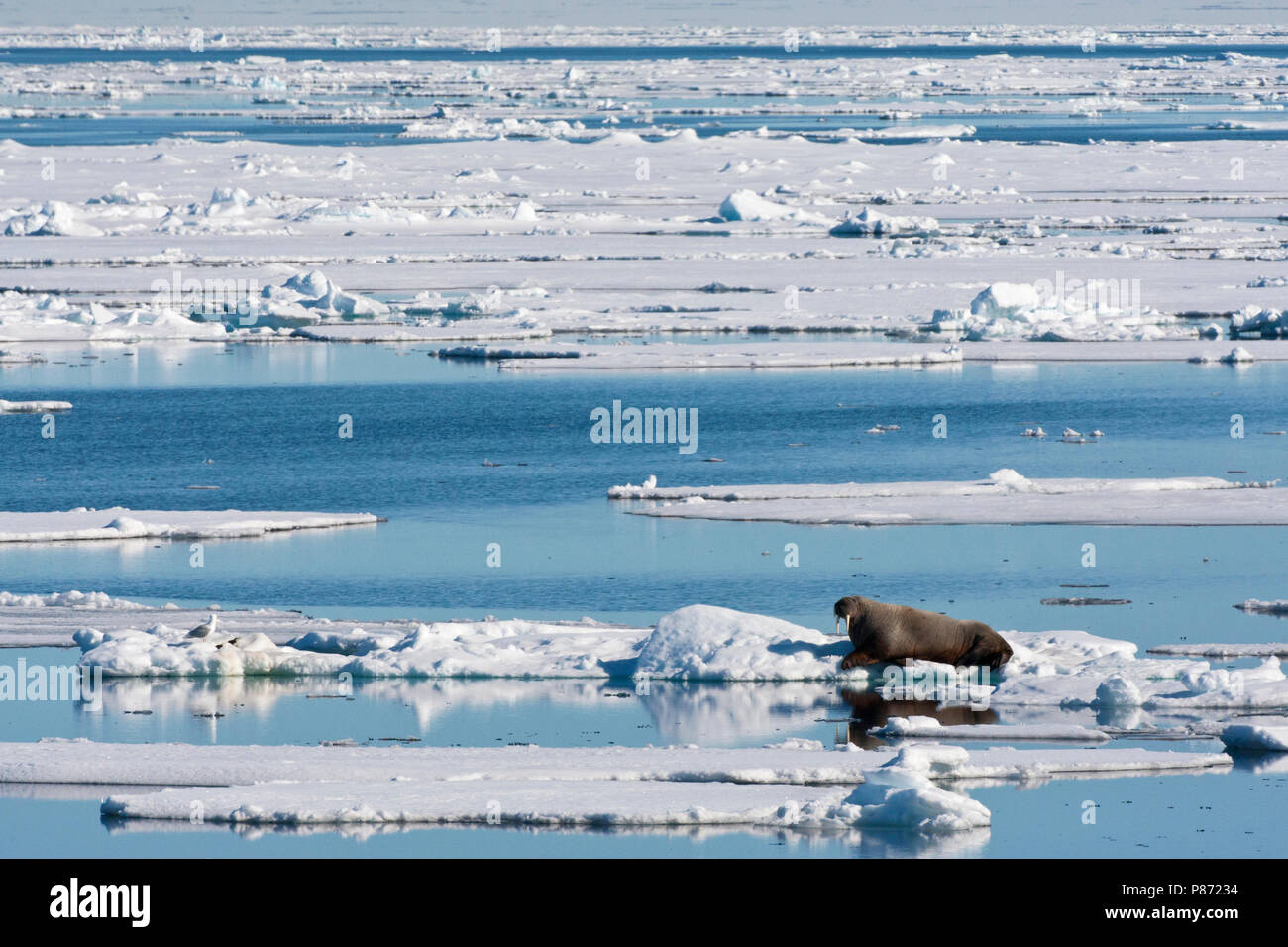 Walrus liggend op het pakijs; Walrus lying on the pack ice - Stock Image