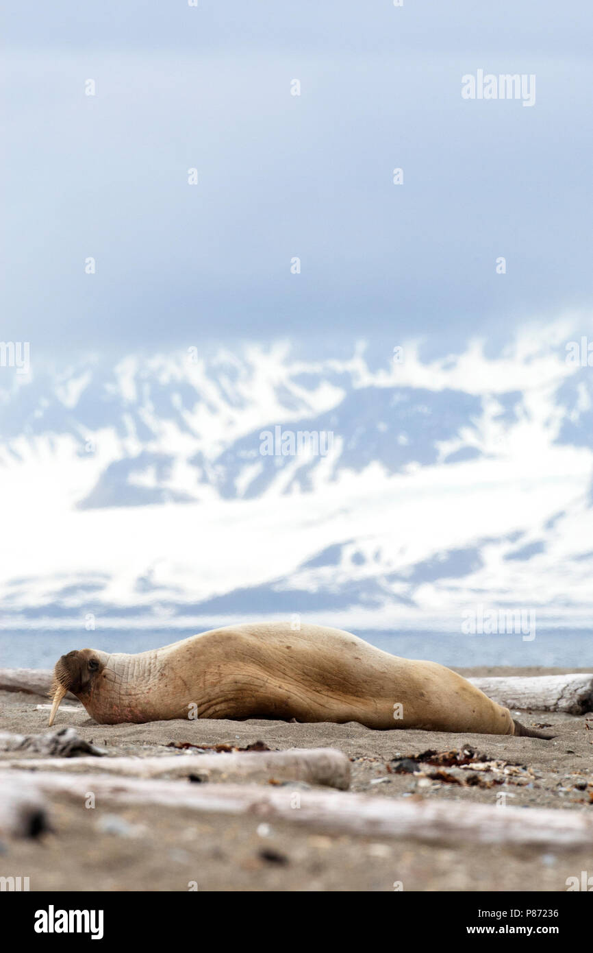 Walrus liggend op het strand; Walrus lying on the beach - Stock Image
