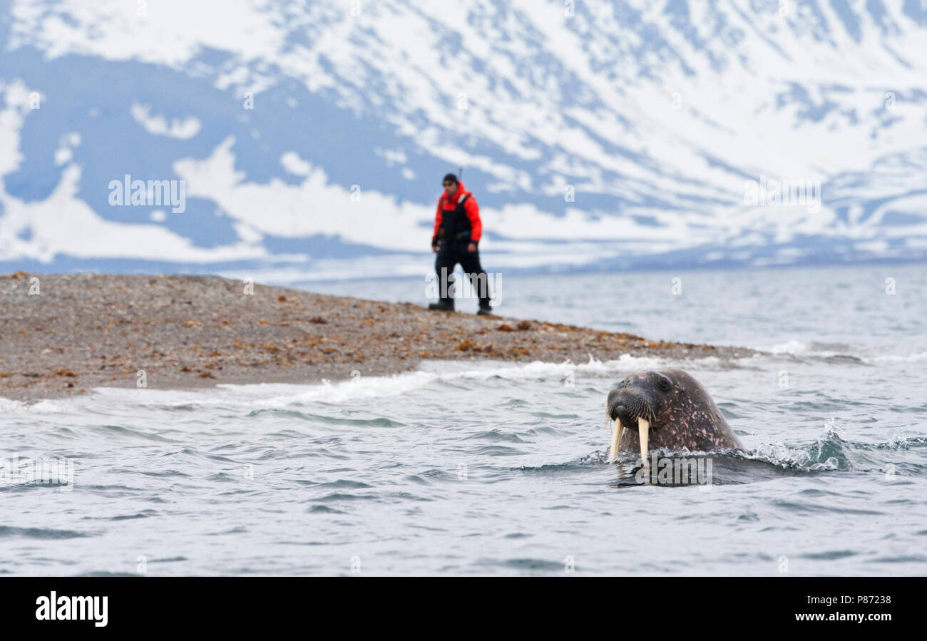 Walrus zwemmend met expeditie gids op achtergrond; Walrus swimming with expedition guide in background - Stock Image