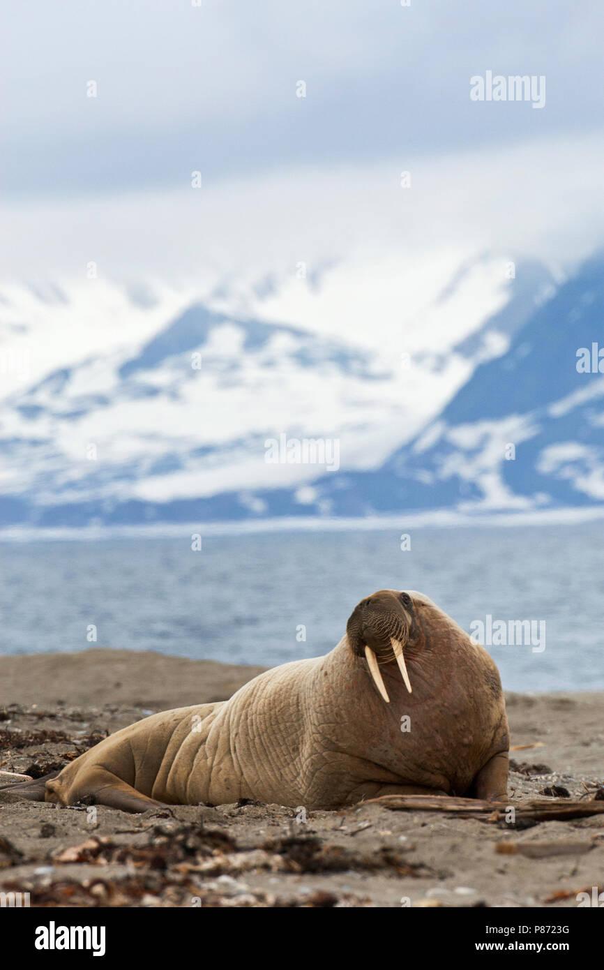 Walrus, Odobenus rosmarus - Stock Image