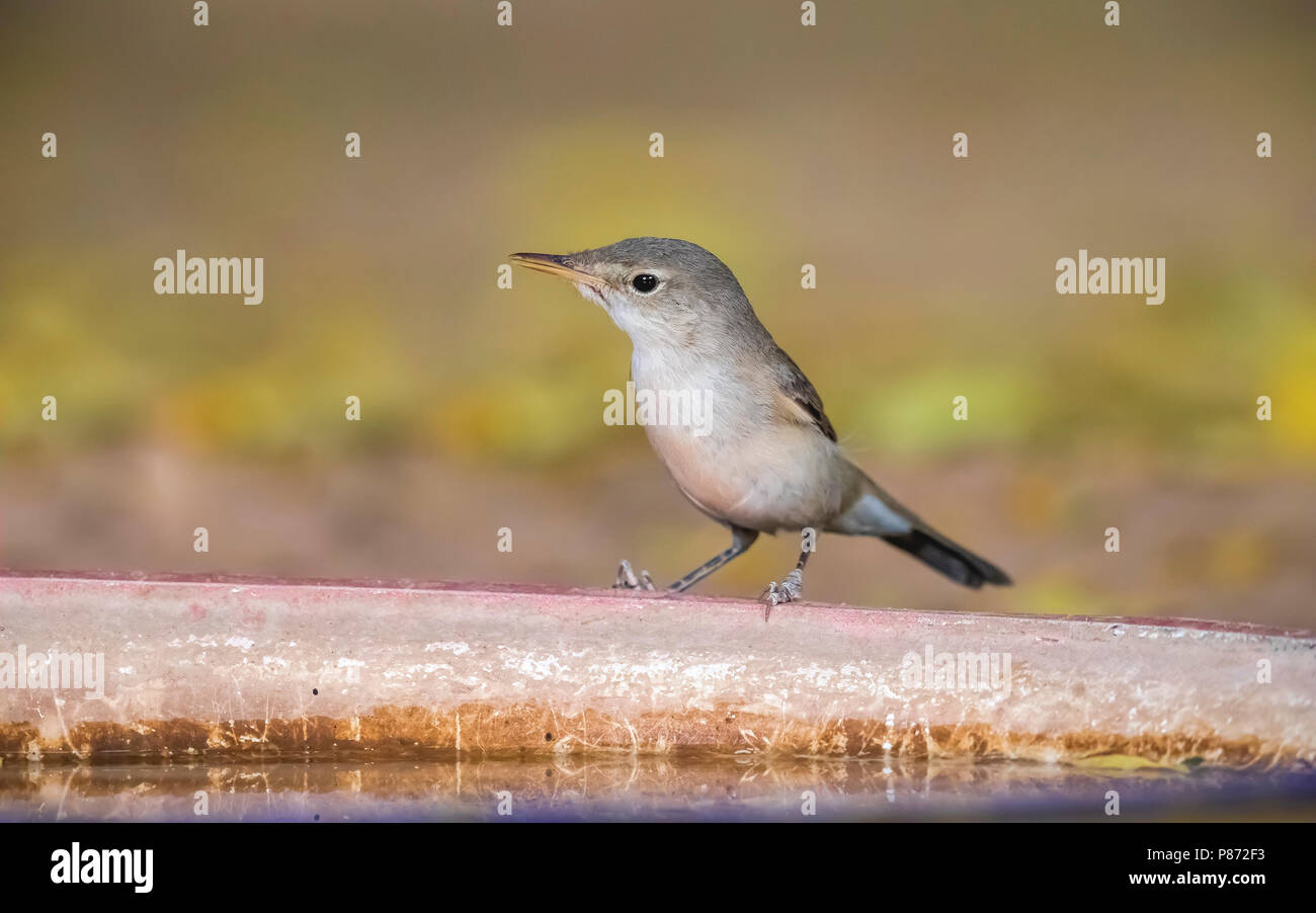 Adult Western Olivaceous Warbler sitting on a plate with water, Bab Sahara, Atar, Mauritania. April 05, 2018. - Stock Image
