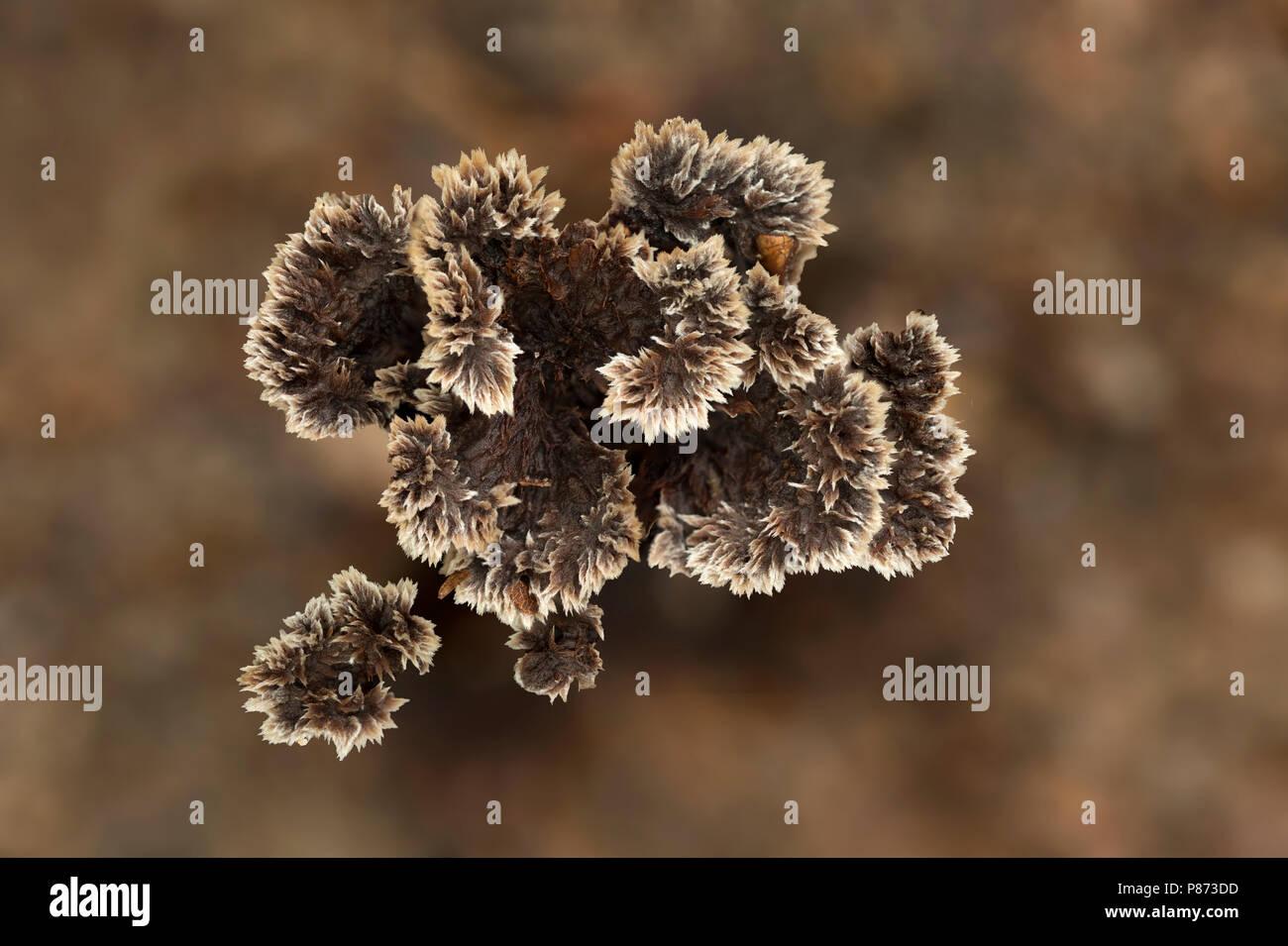 gewone franjezwam; Thelephora terrestris - Stock Image