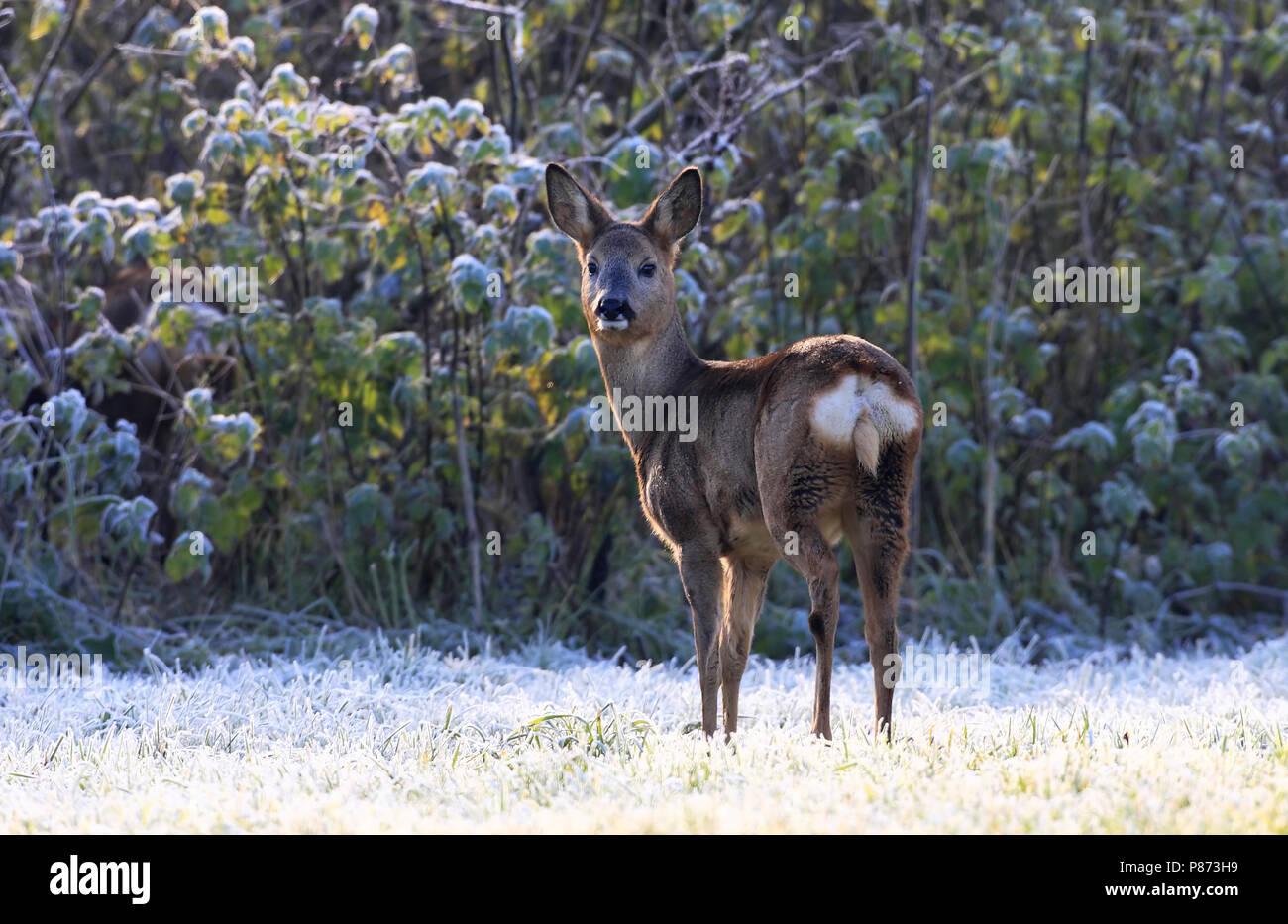 Ree; Roe deer Stock Photo