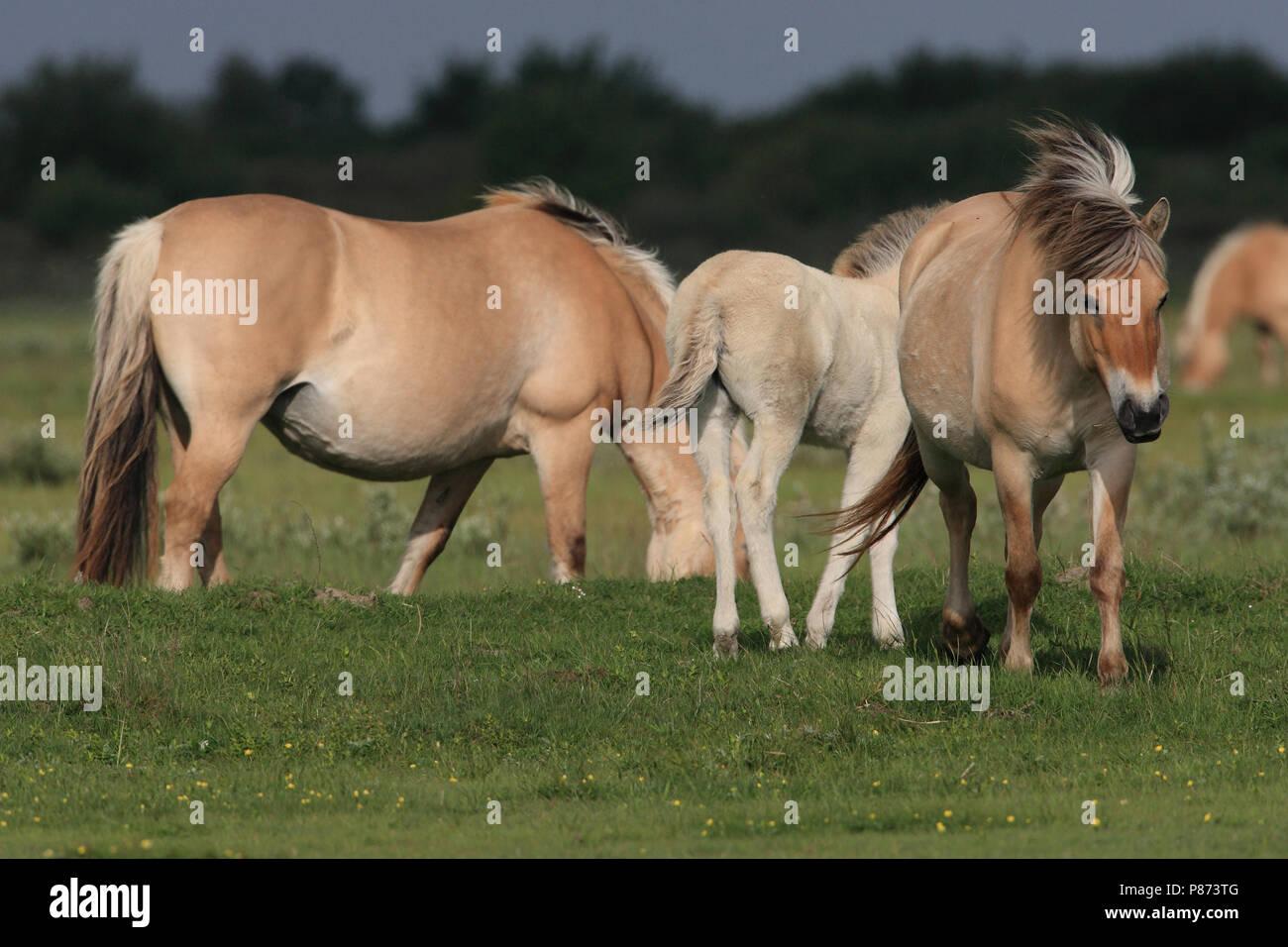 Bij het beheer van de Slikken van Flakkee worden Fjordenpaarden ingezet. - Stock Image