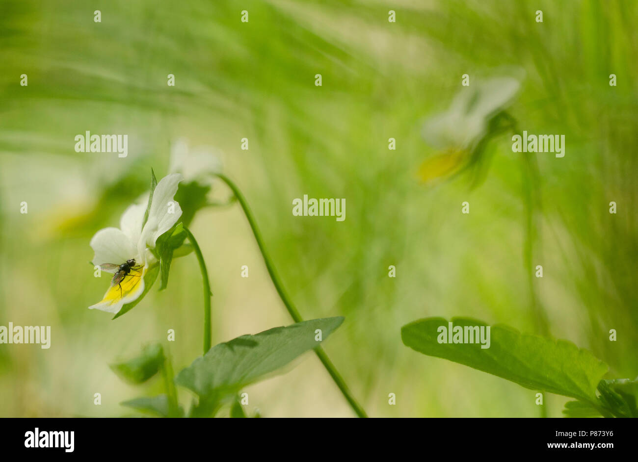 Akkerviool met vlieg, Field Pansy with fly - Stock Image
