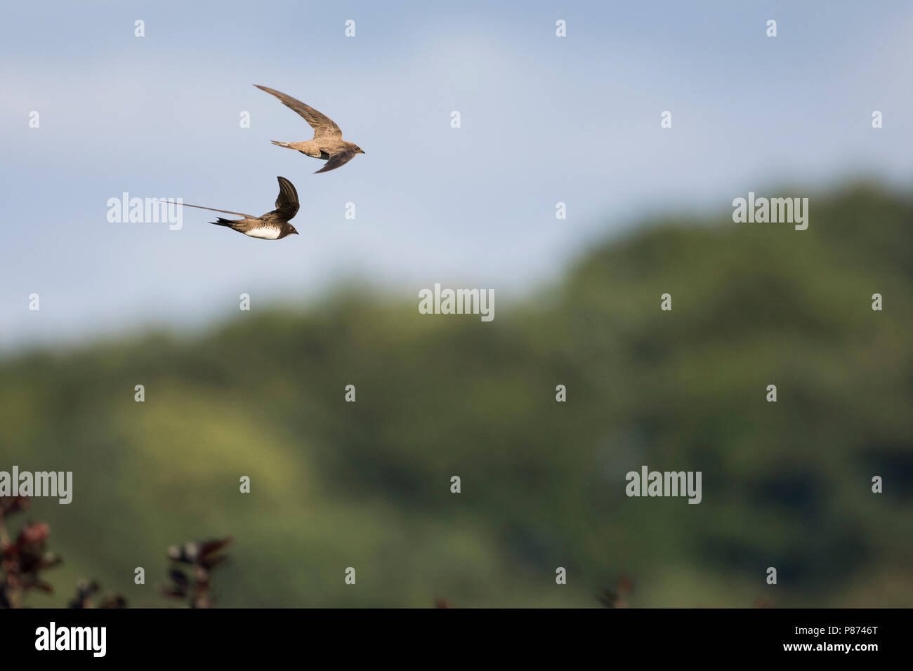 Alpine Swift - Alpensegler - Tachymarptis melba ssp. melba, Germany, adult Stock Photo