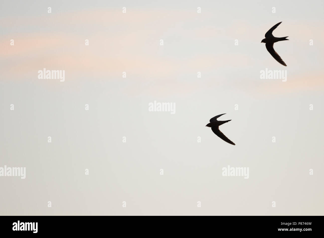 Alpine Swift - Alpensegler - Tachymarptis melba ssp. melba, Germany, adult - Stock Image
