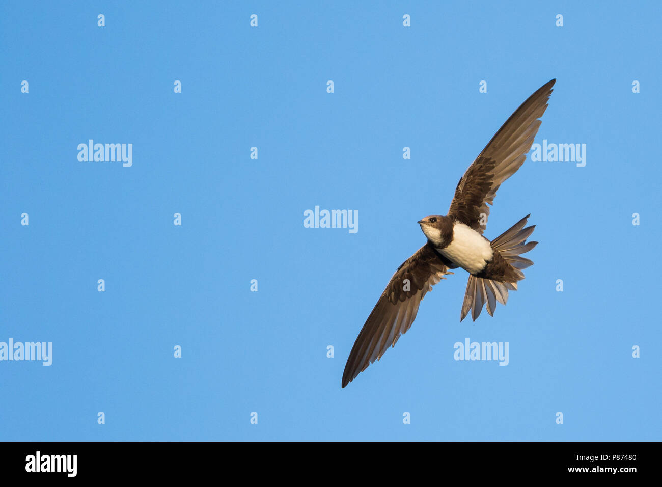 Alpine Swift - Alpensegler - Tachymarptis melba ssp. melba, Germany, adult Stock Photo