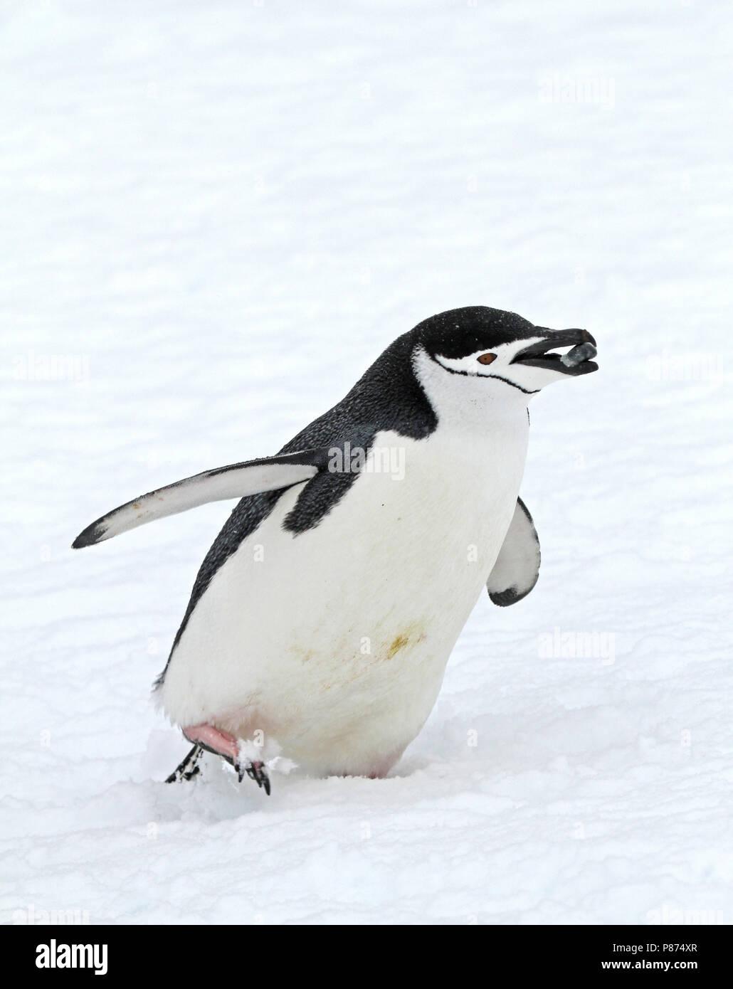 Chinstrap Penguin (Pygoscelis antarcticus) in Antarctica. Stock Photo