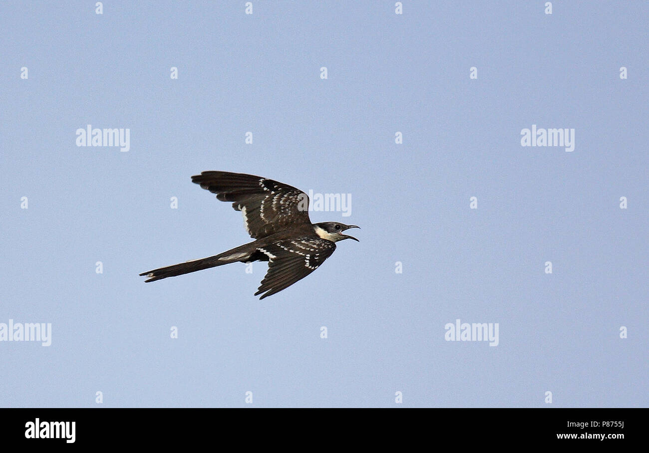 Great Spotted Cuckoo (Clamator glandarius), a brood parasite that lays its eggs in the nests of corvids, in particular the Eurasian magpie. - Stock Image