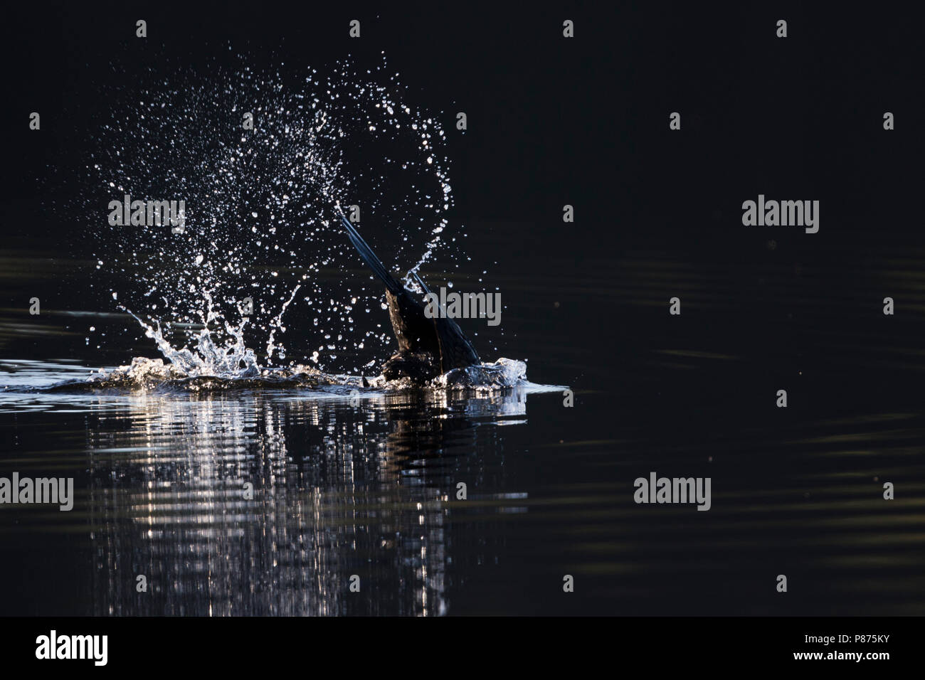 Common Great Cormorant - Kormoran - Phalacrocorax carbo ssp. sinensis, Great Britain diving for food - Stock Image