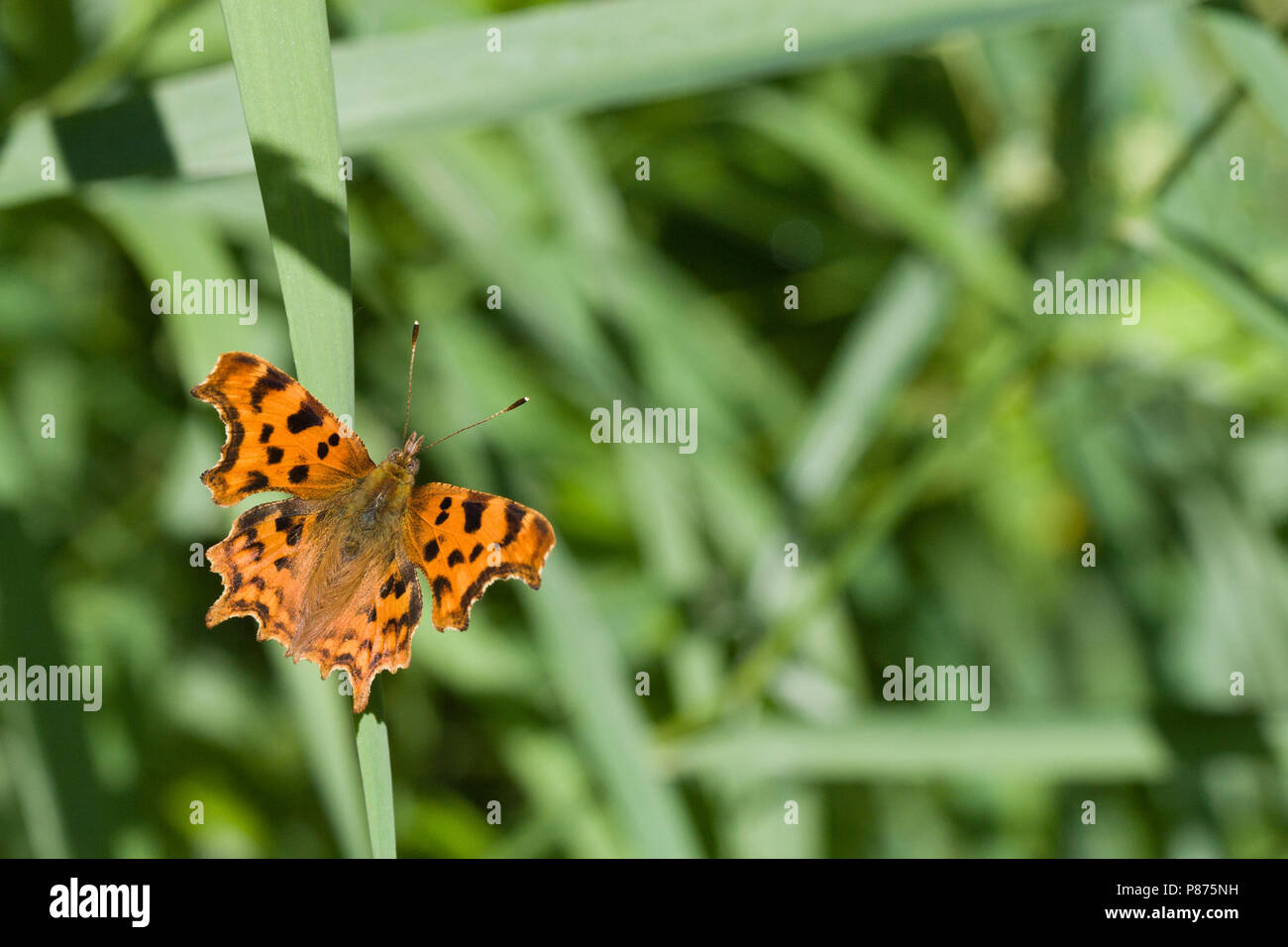 Comma butterfly, Polygonia c-album, UK Stock Photo
