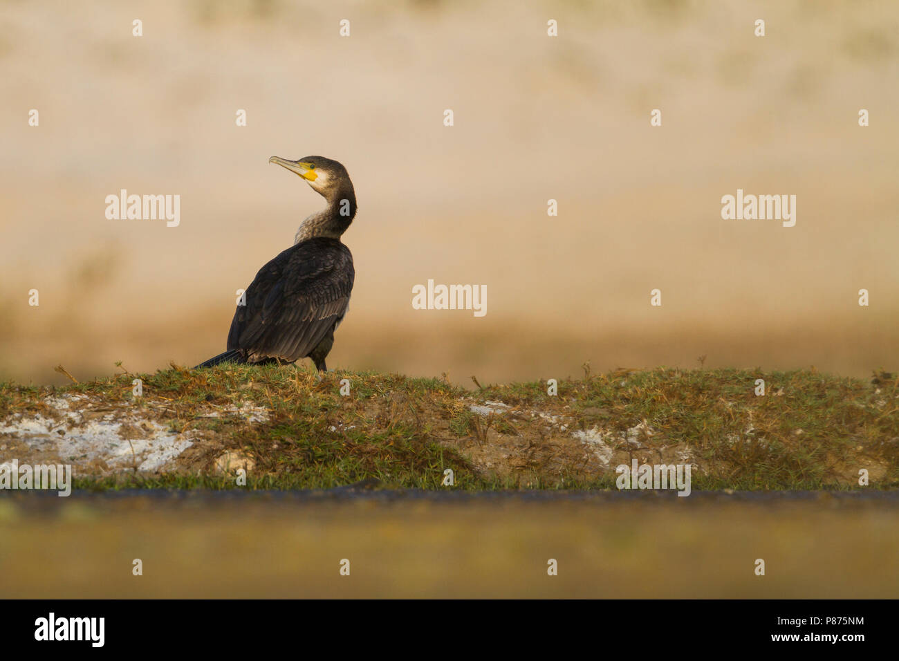 Great Cormorant - Kormoran - Phalacrocorax carbo ssp. sinensis, Oman. Looking over shoulder. - Stock Image