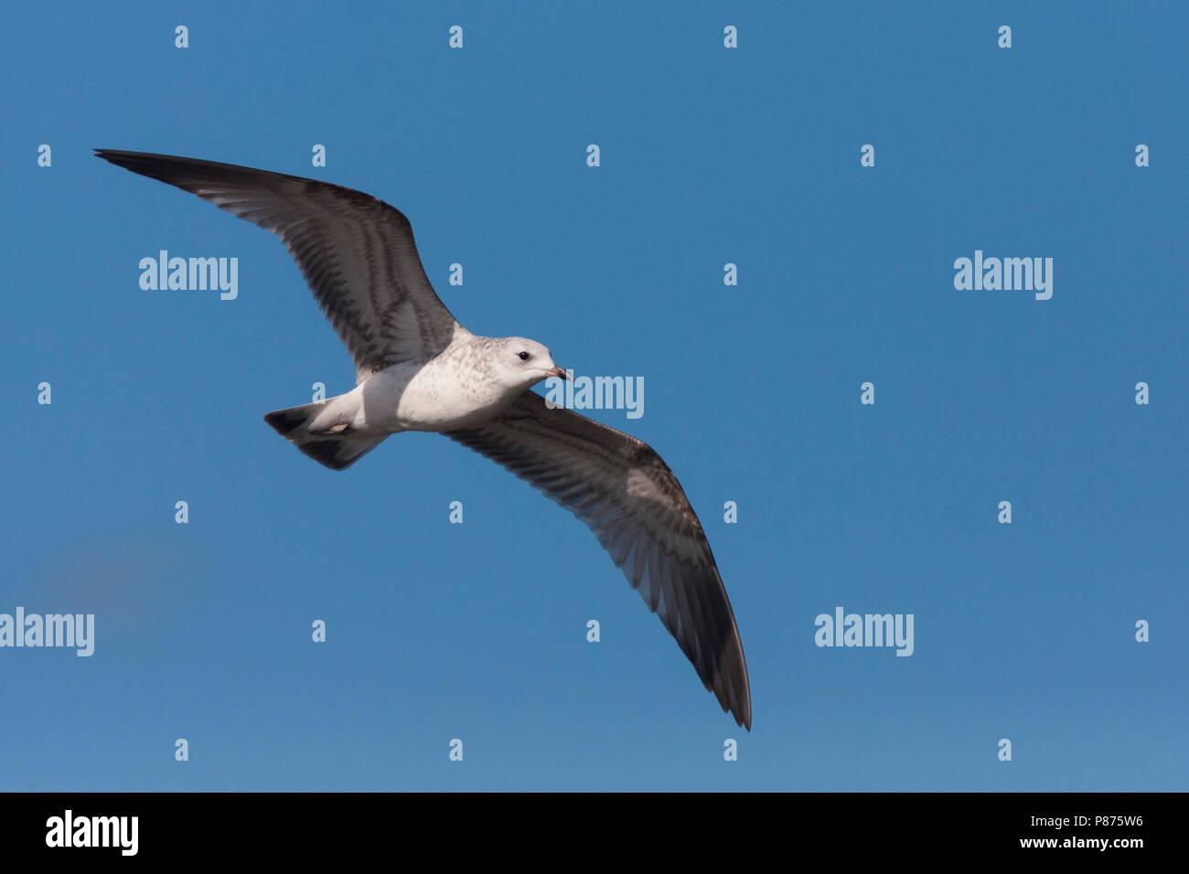 Common Gull - Sturmmöwe - Larus canus ssp. canus, Germany, 1st cy - Stock Image