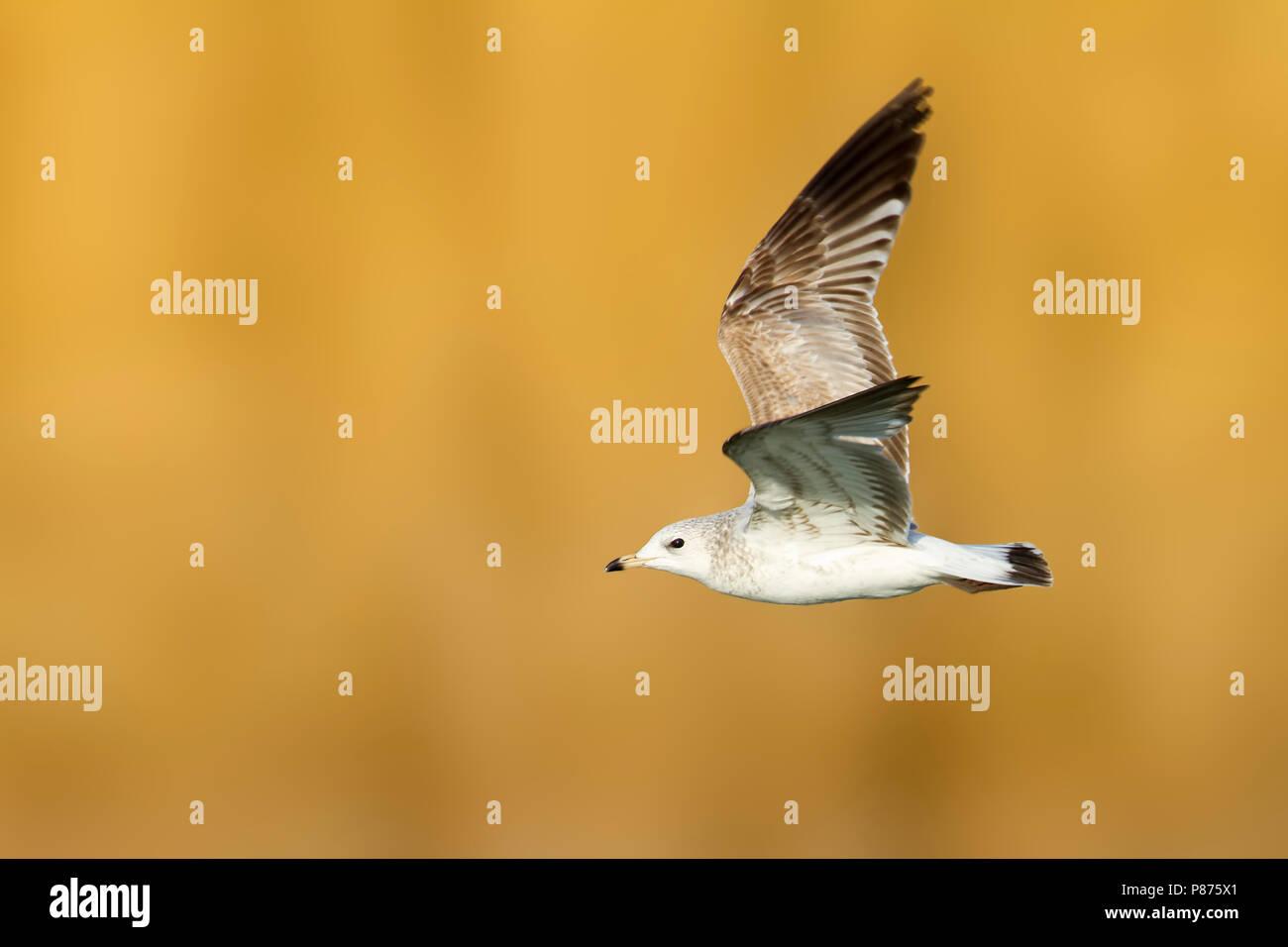 Stormmeeuw, Mew Gull, Larus Canus, Switzerland, 2nd cy - Stock Image