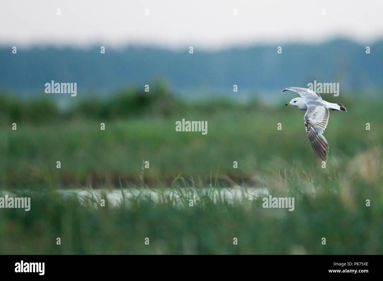 Stormmeeuw, Mew Gull, Larus canus ssp. heinei, Russia (Tscheljabinsk), 2nd cy - Stock Image